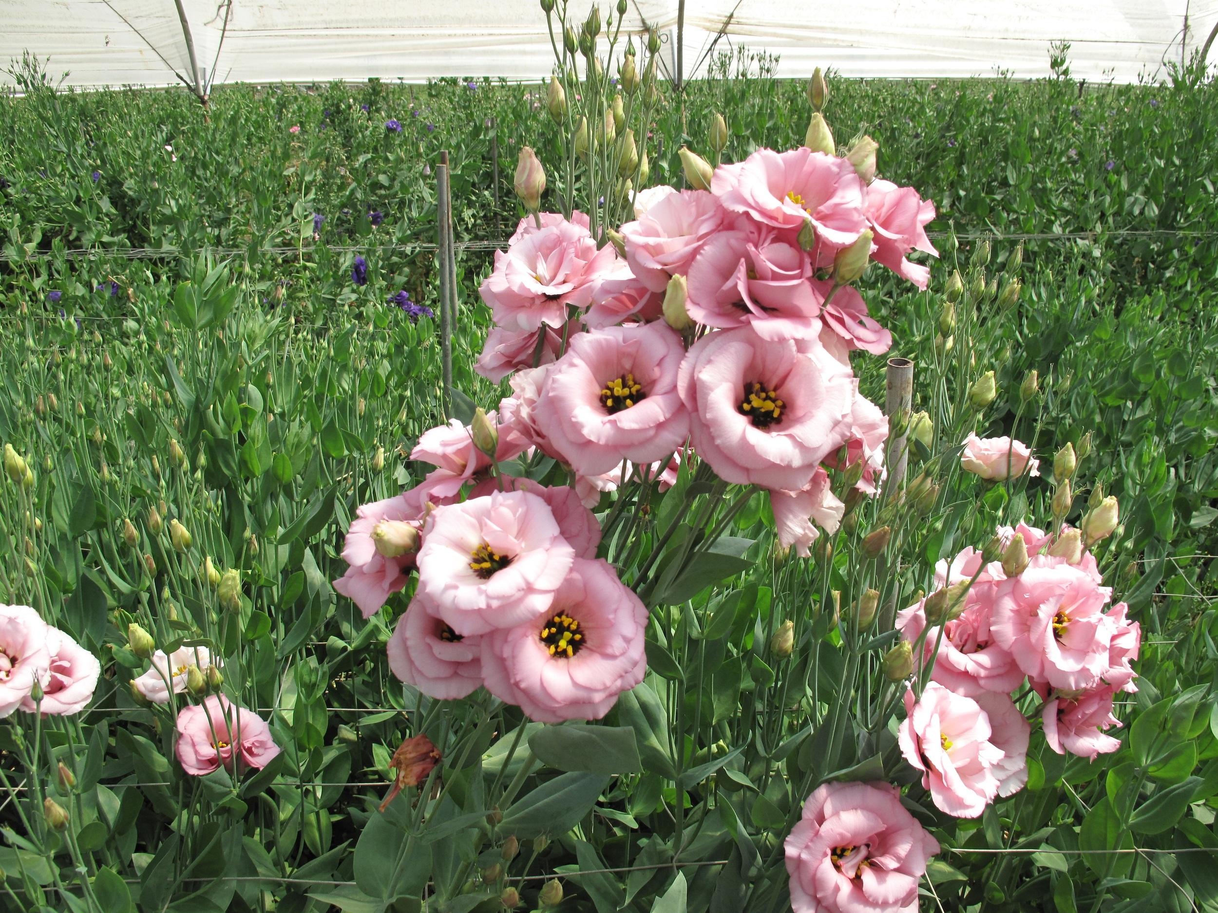 9002 pink lisianthus.JPG