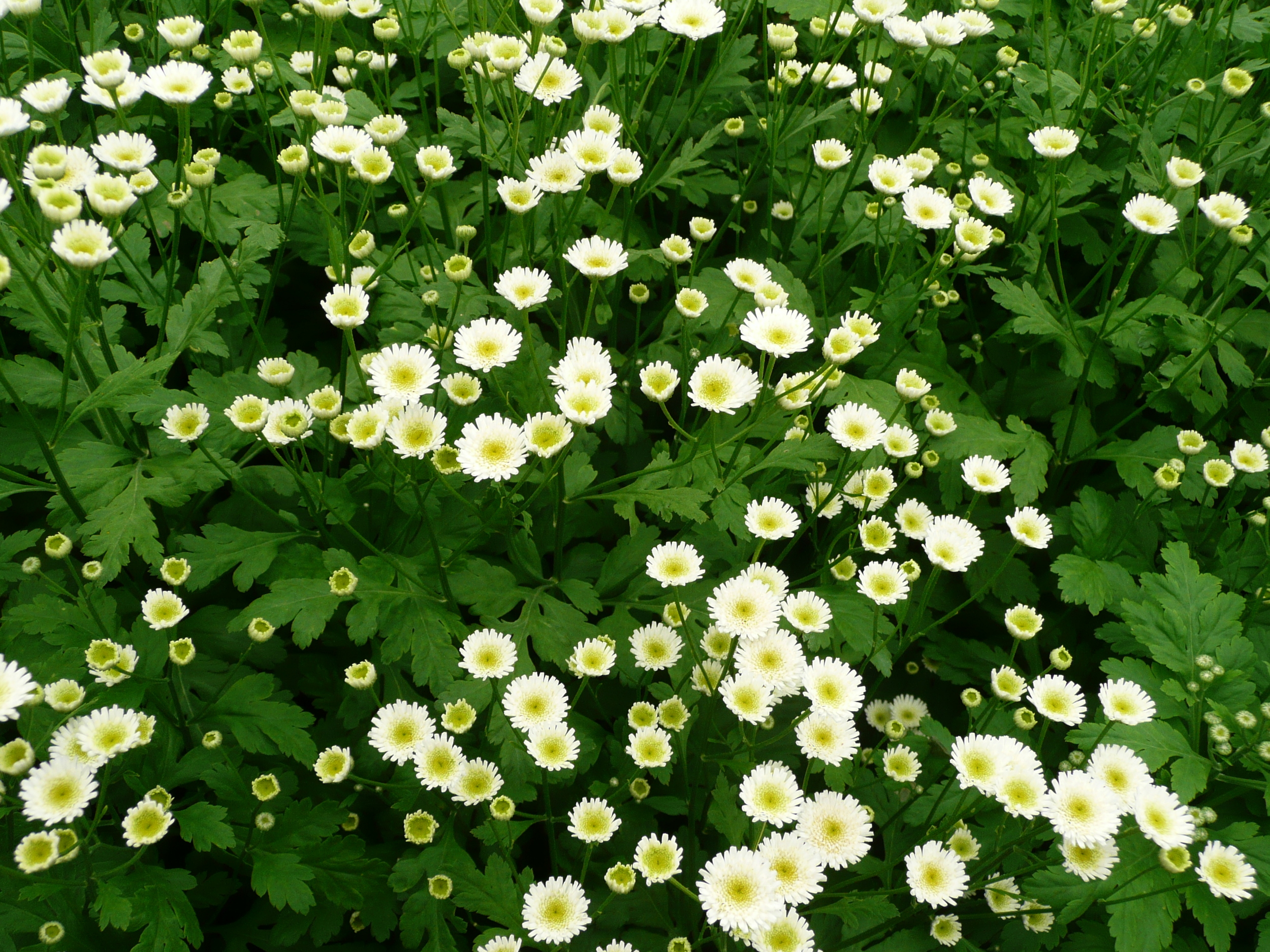 white button matricaria