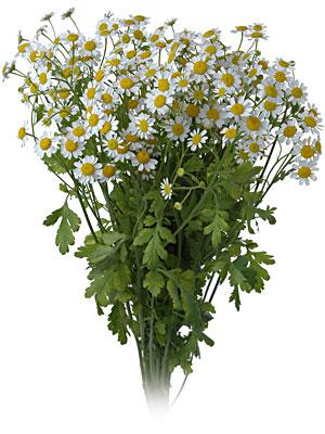 White Daisy Matricaria