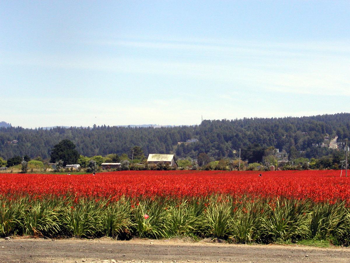Montbretia field