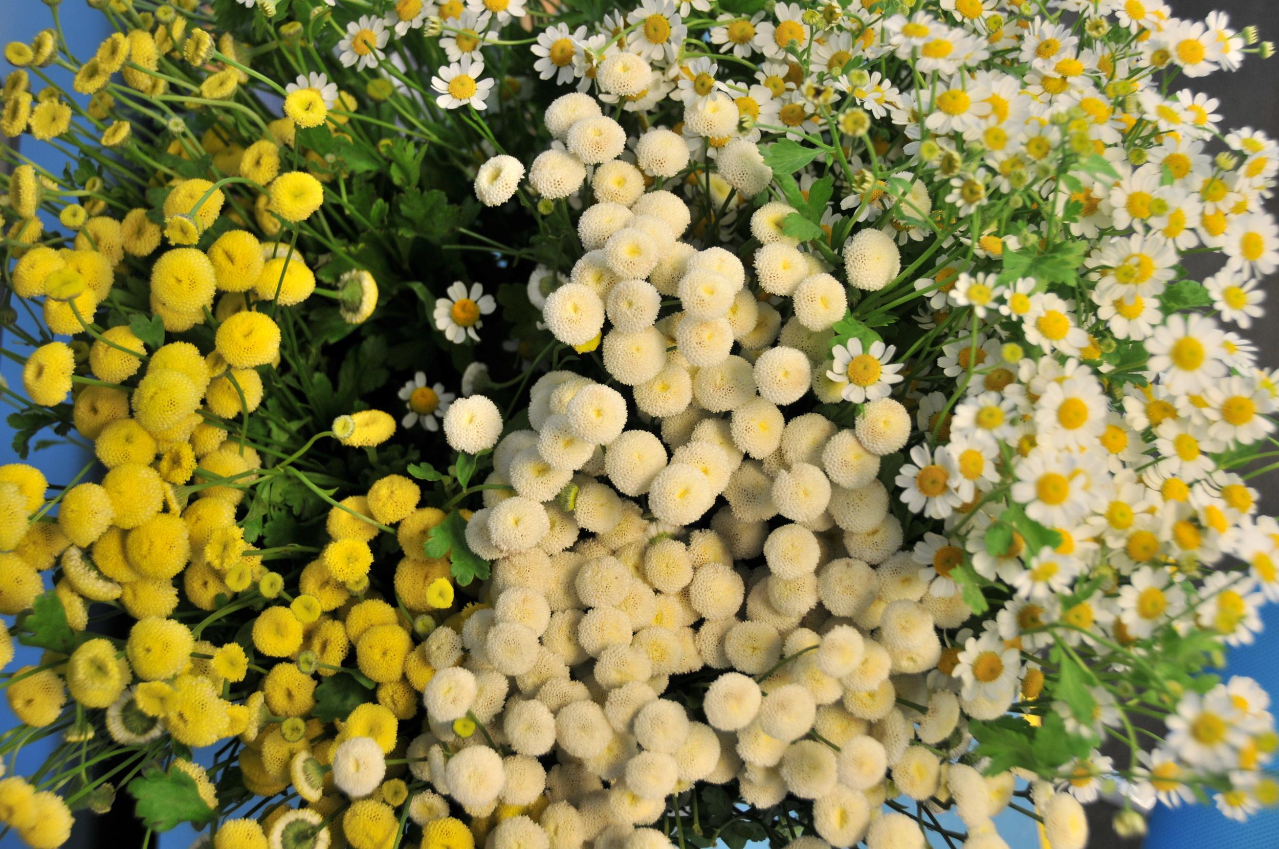 (L-R): Yellow Button, White Button, and White Daisy Matricaria
