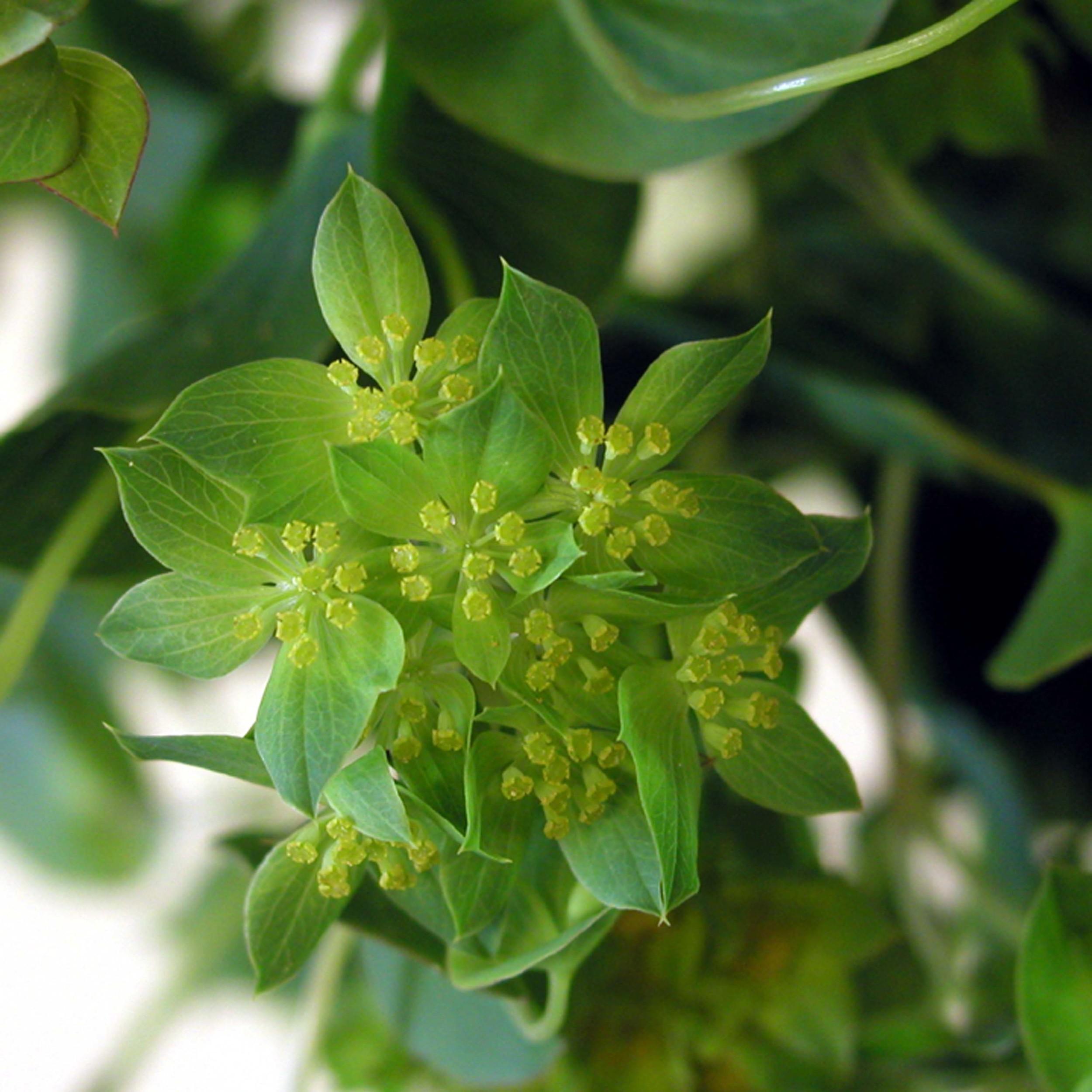 Closeup of Bupleurum flowers