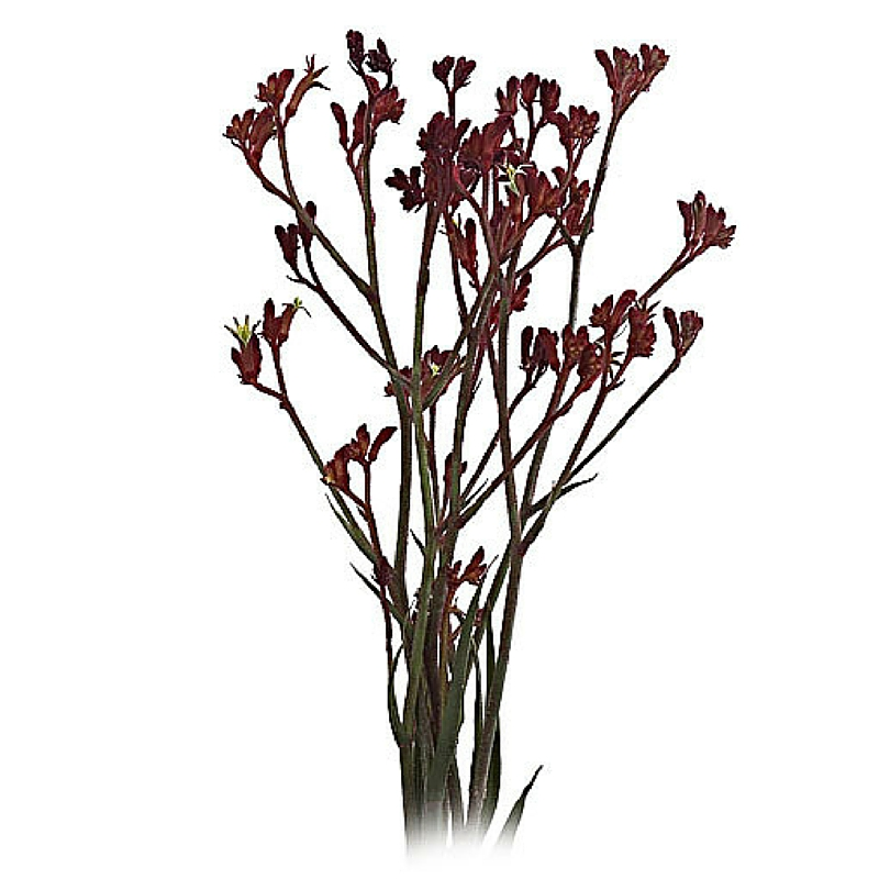 Dark Red Kangaroo Paw