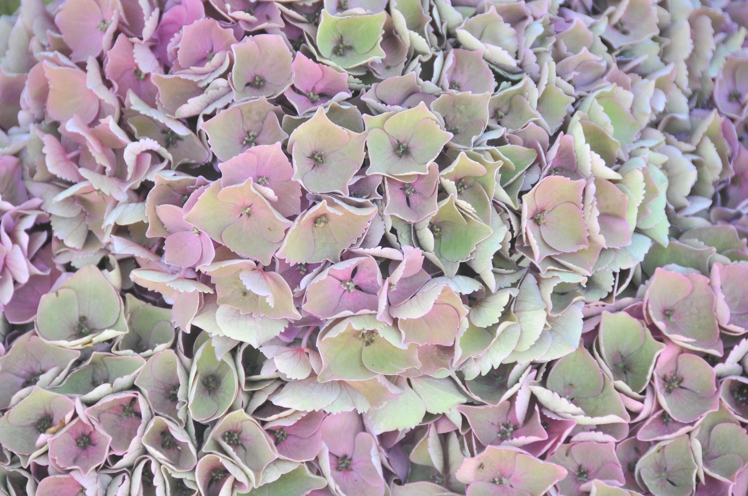 antique hydrangea florets