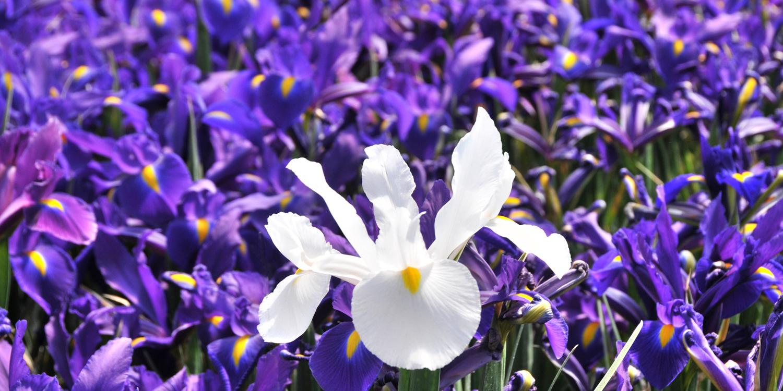 bloom expert iris 01.jpg