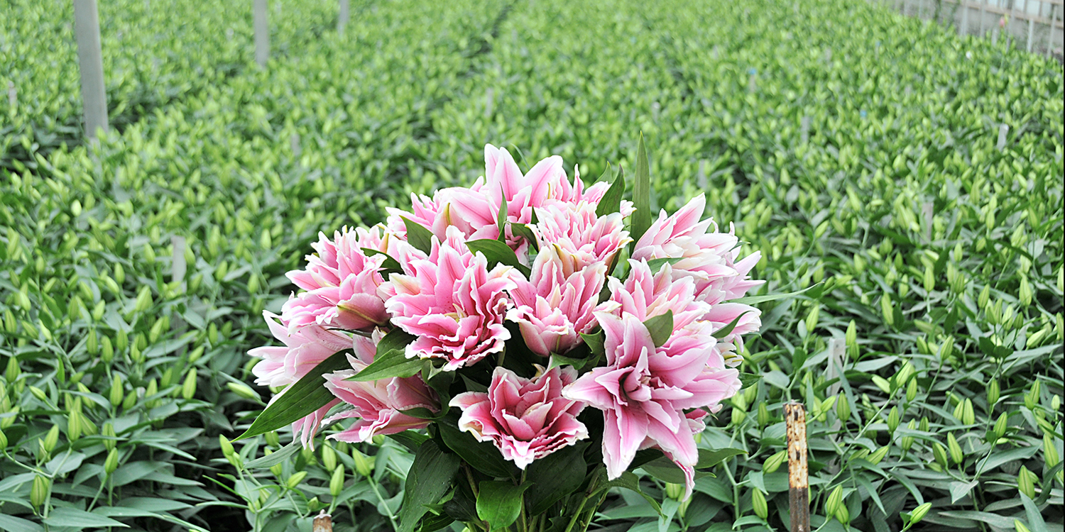 bloom expert rose lily field.jpg