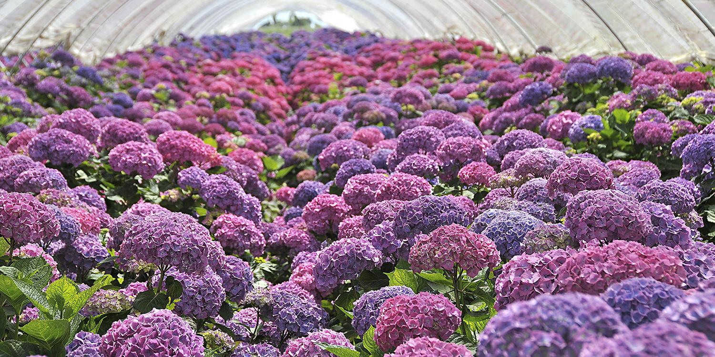 bloomexpert hydrangea.jpg