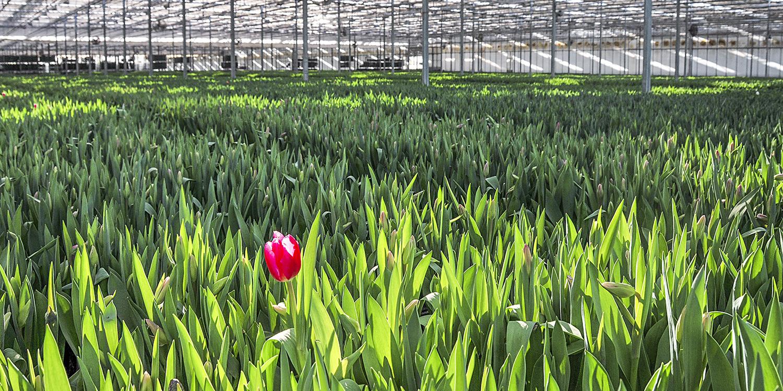 bloomexpert tulip field .jpg