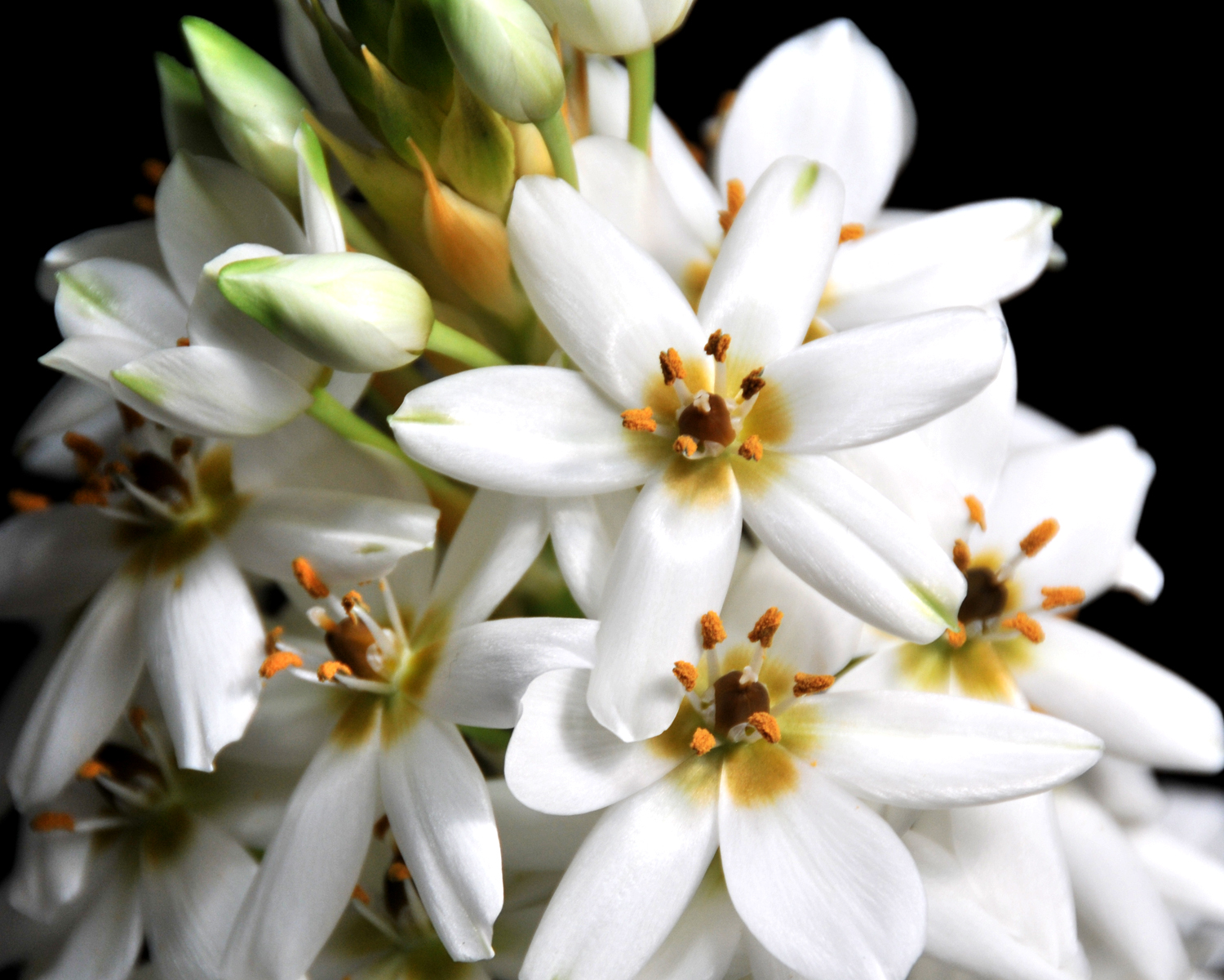 Star of Bethlehem flowers
