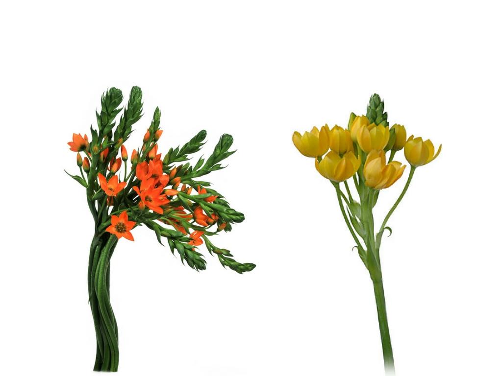Orange and yellow dubium