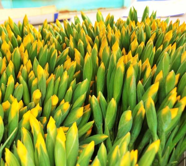 1247 yellow irises_600x535.JPG