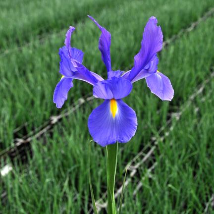Telstar Iris