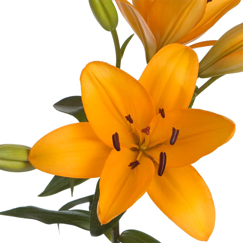 Canaria Royal Lily