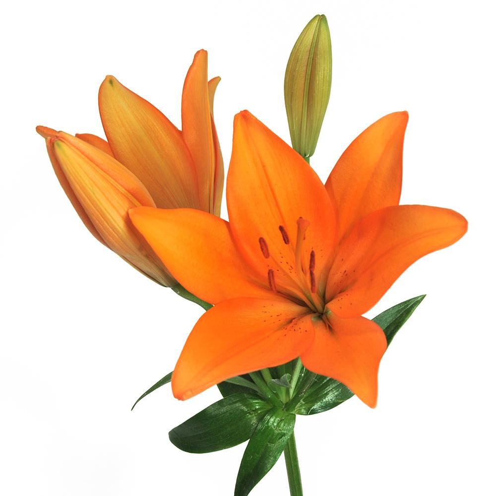 Casino Royal Lily