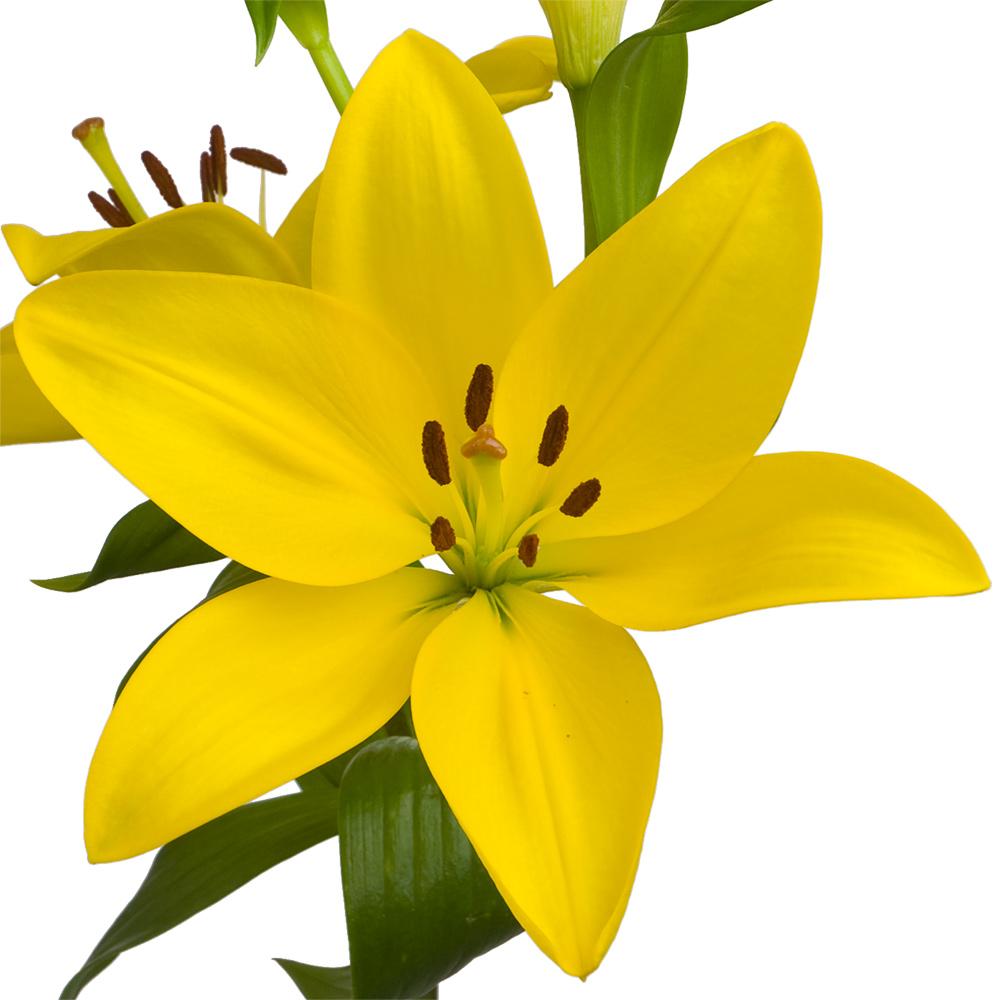 El Divo Royal Lily