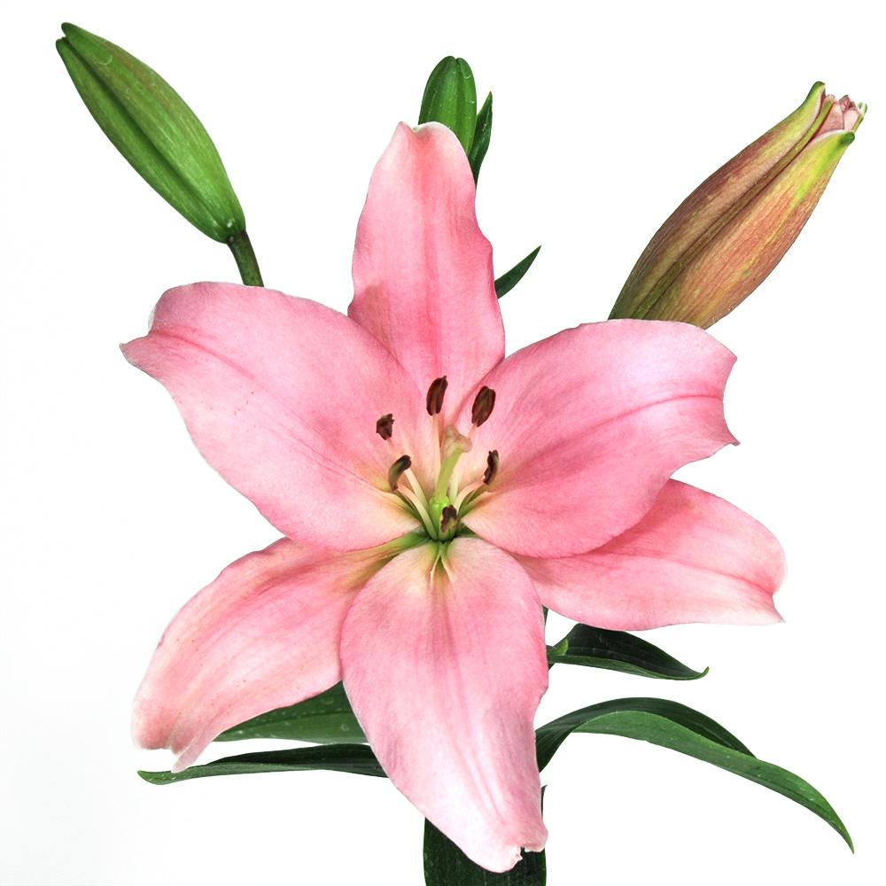 Merlet Royal Lily