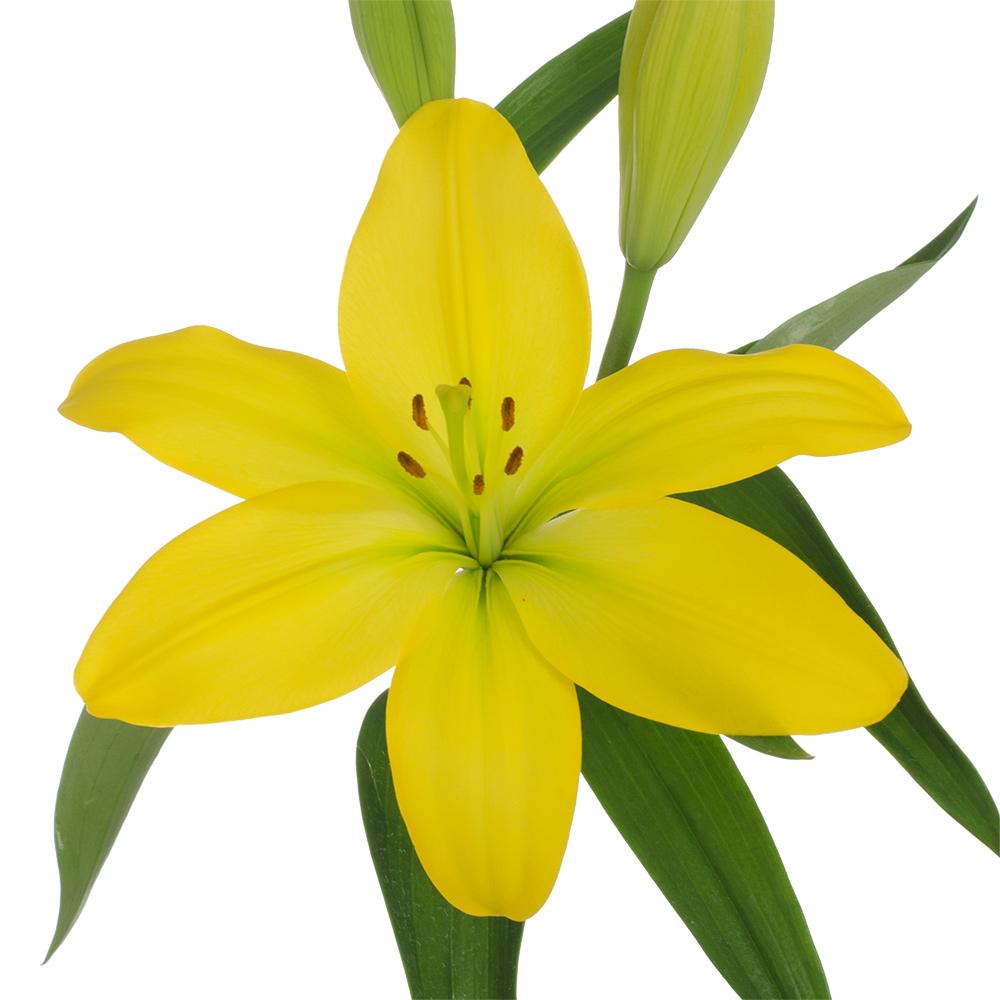 Nashville Royal Lily