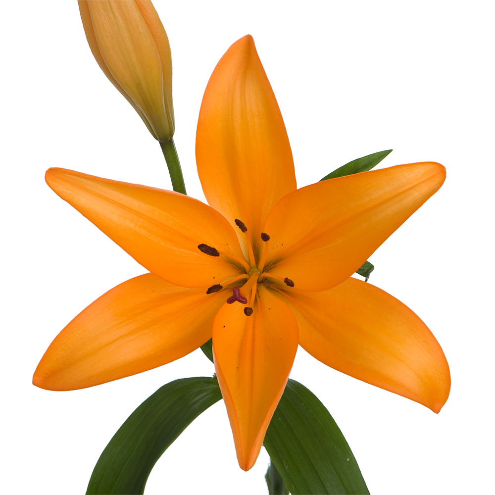 Sun City Royal Lily