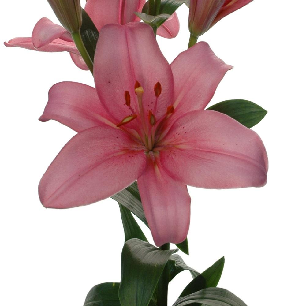 Termoli Royal Lily