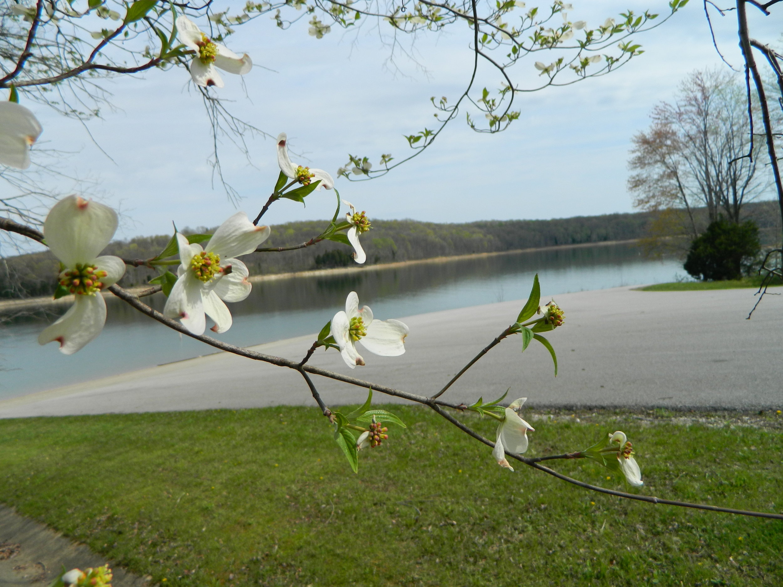 The dogwood trees in bloom are one of Spring's most beautiful scenes on Patoka Lake.