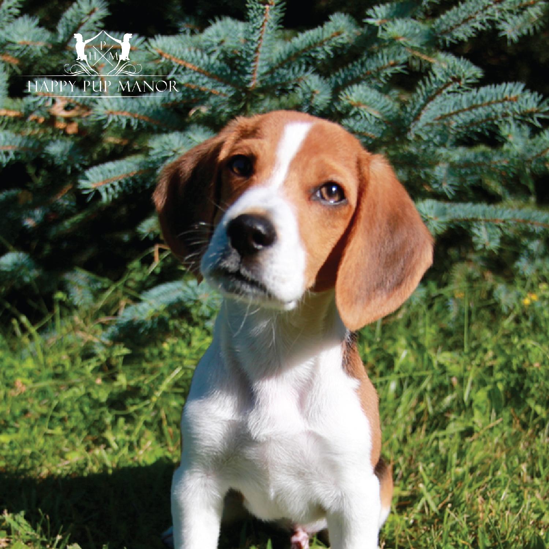 Geoffrey the Beagle