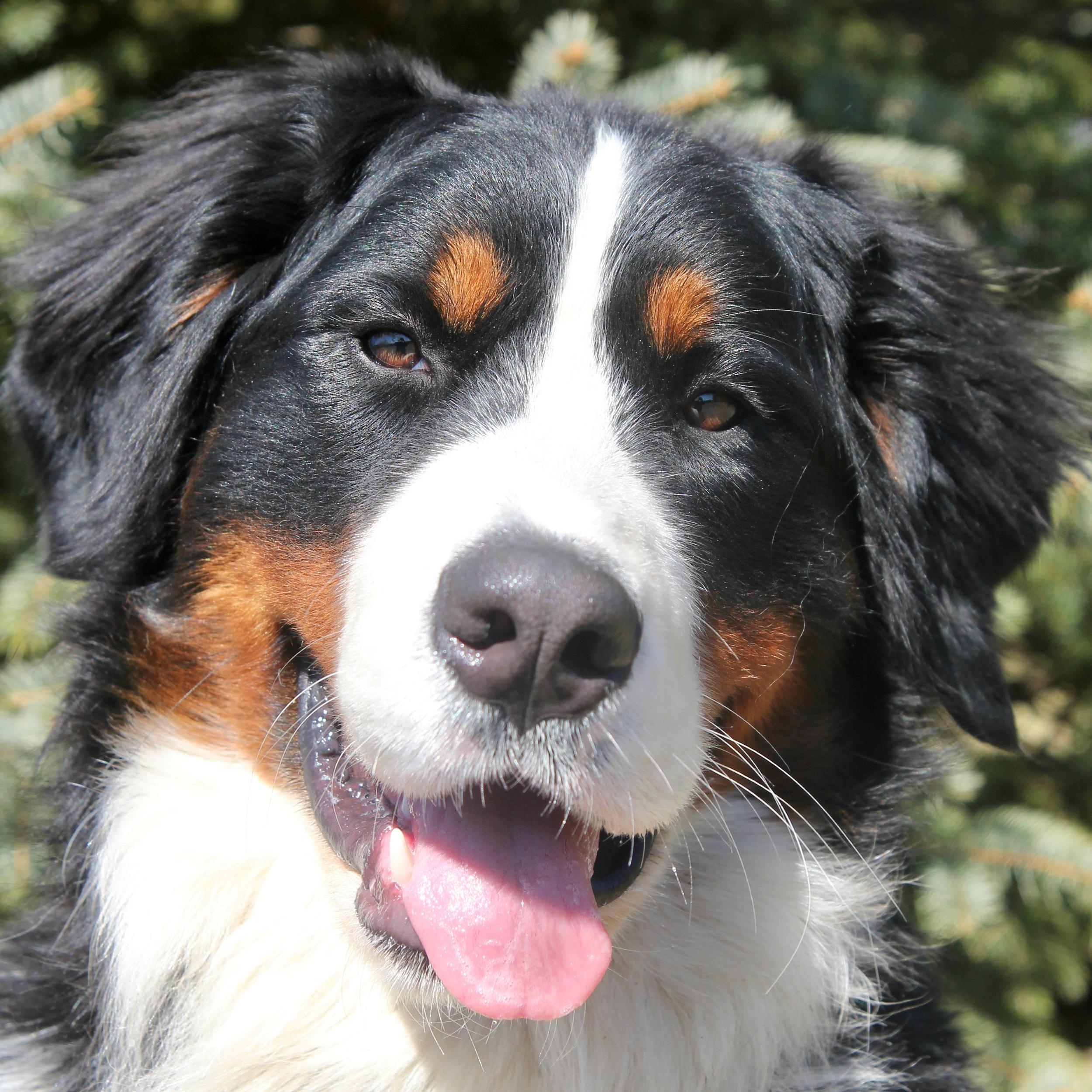 Jake the Bernese Mountain Dog