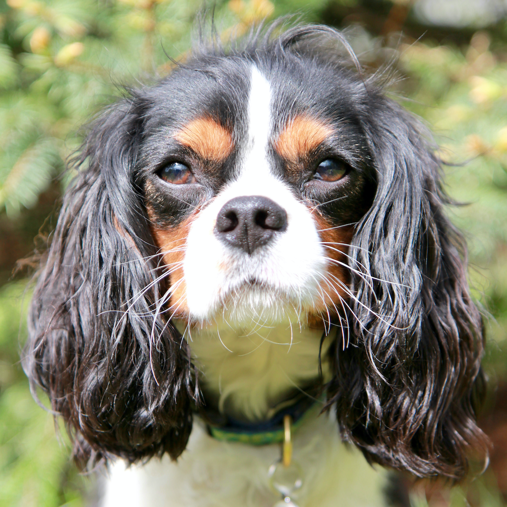 Charlie the King Charles Cavalier