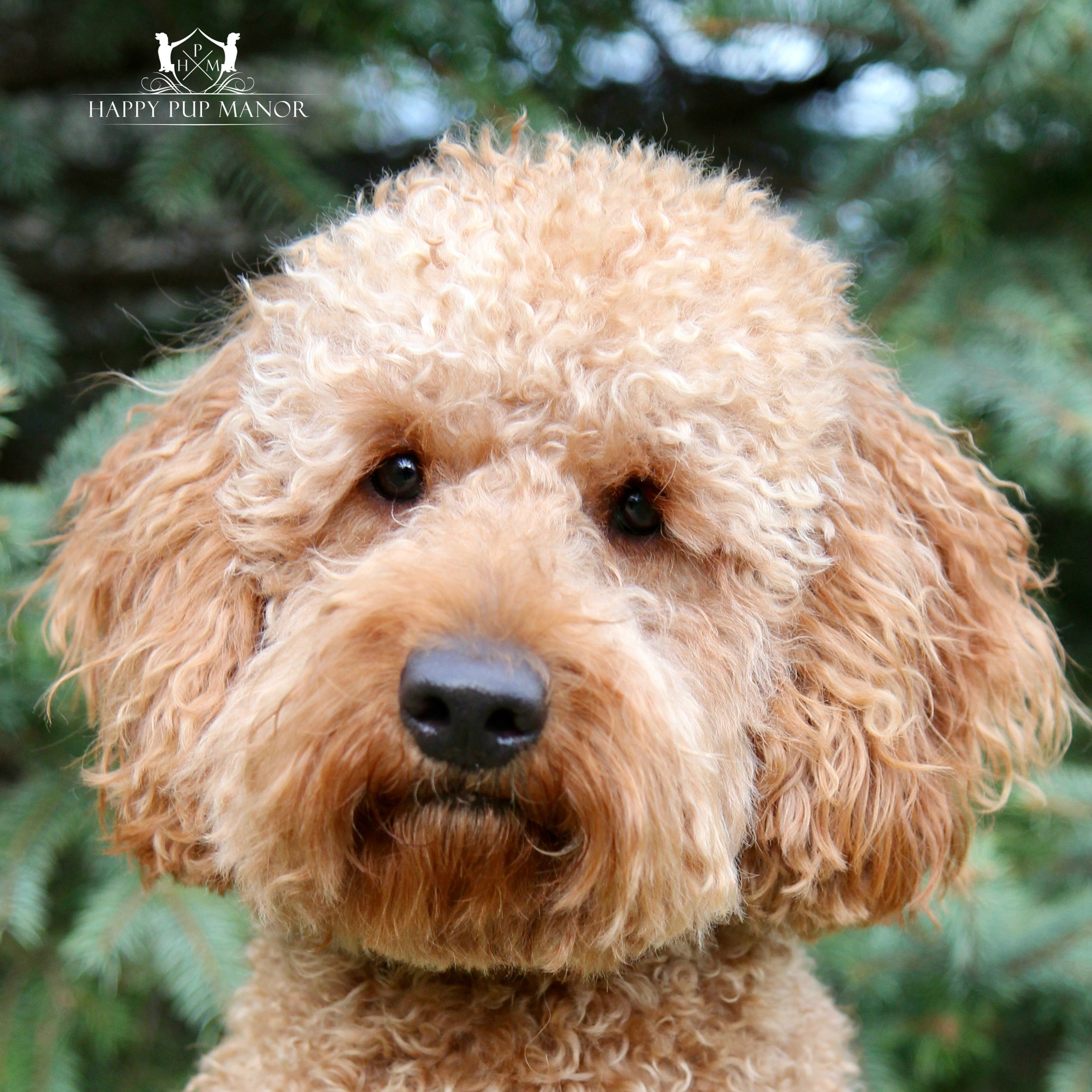 Ruby the Goldendoodle