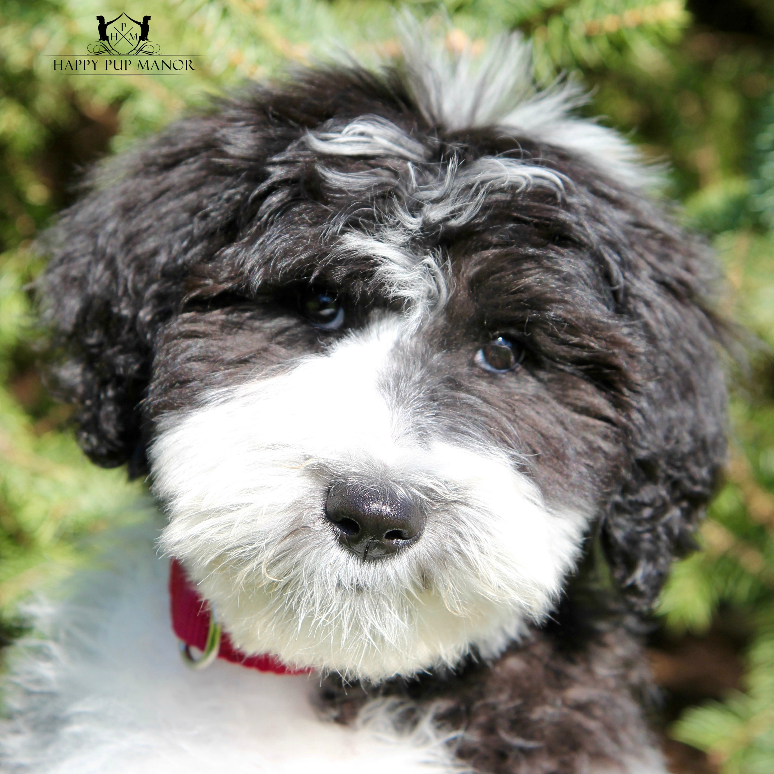 Ollie the Sheepadoodle