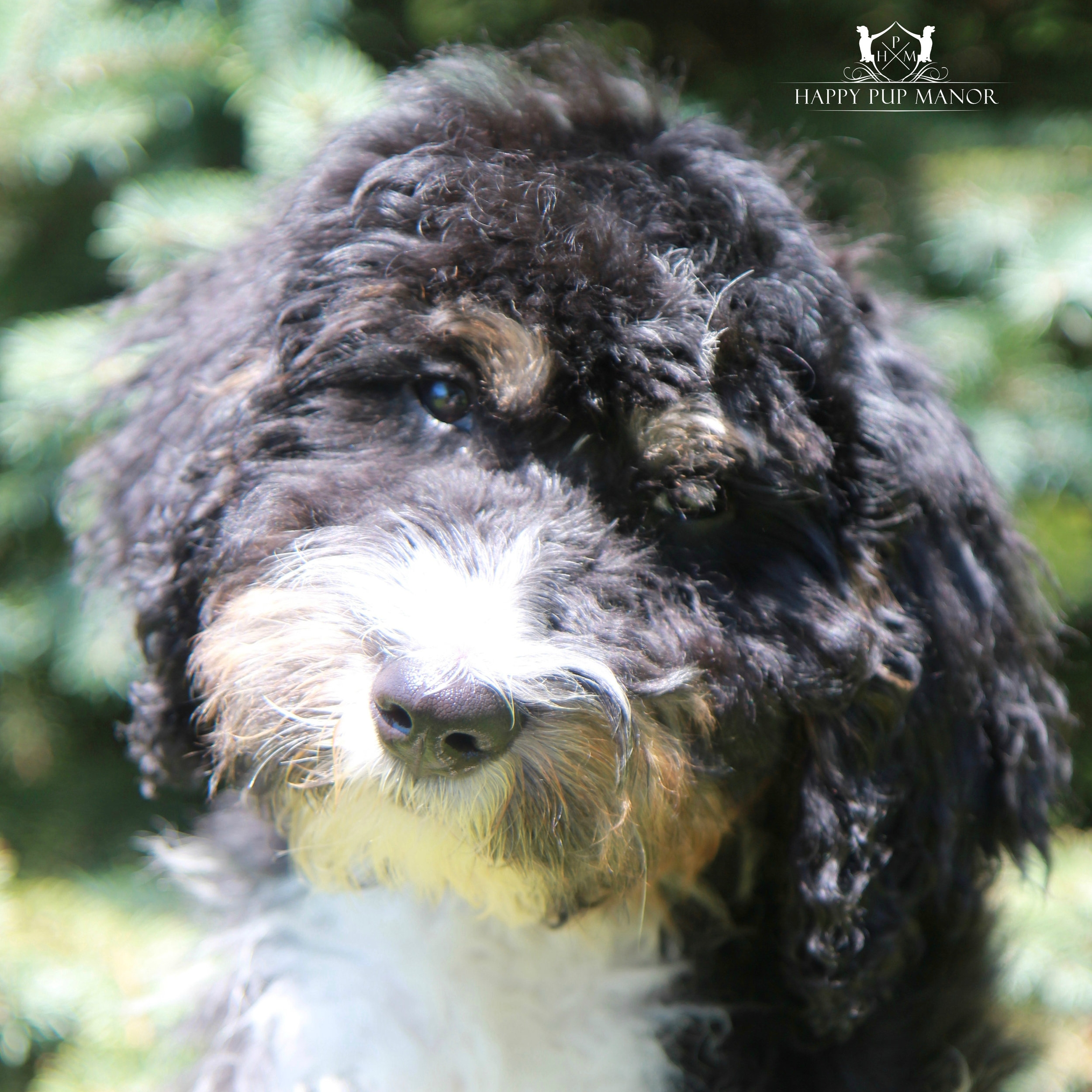 Chad the Bernedoodle