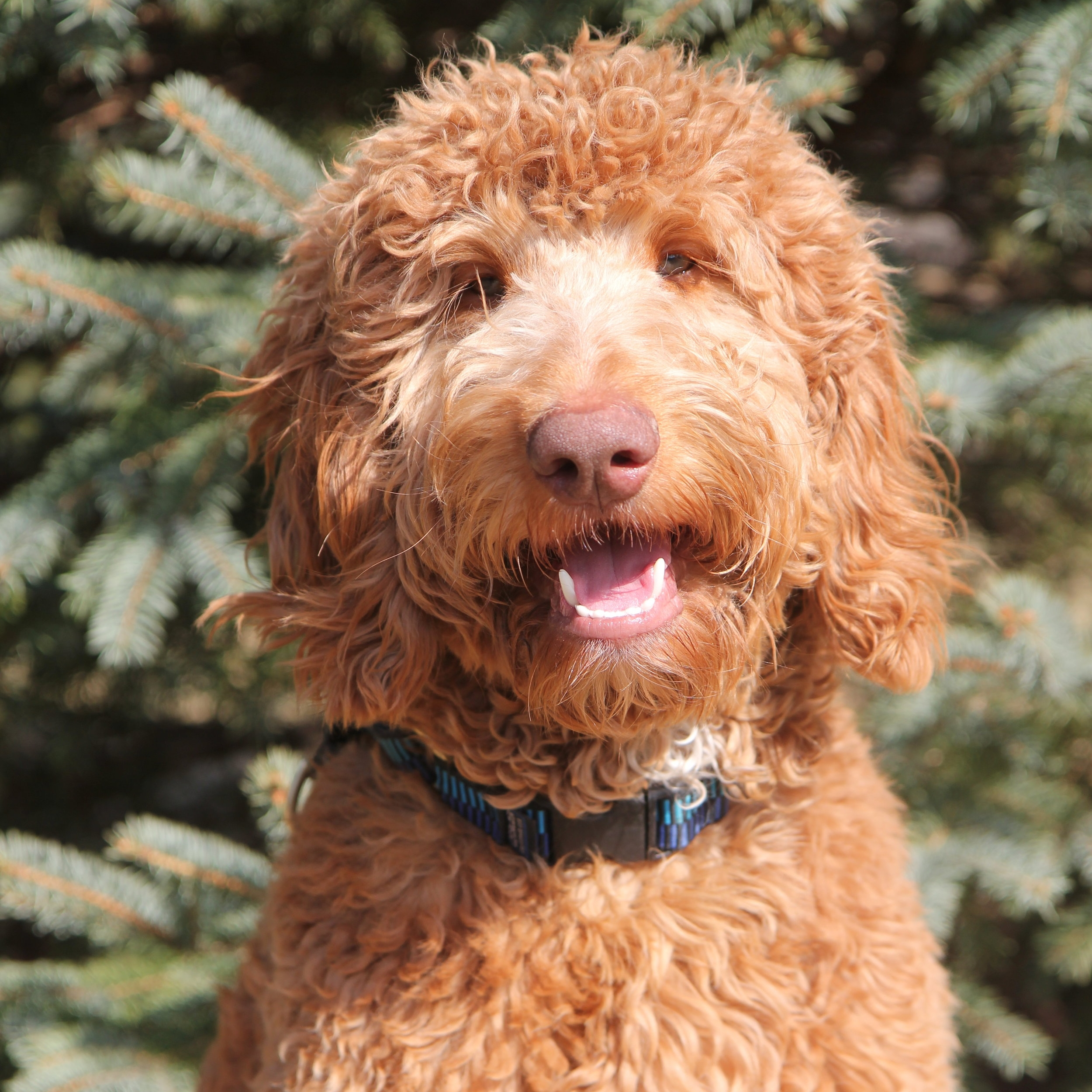Maddom The Goldendoodle