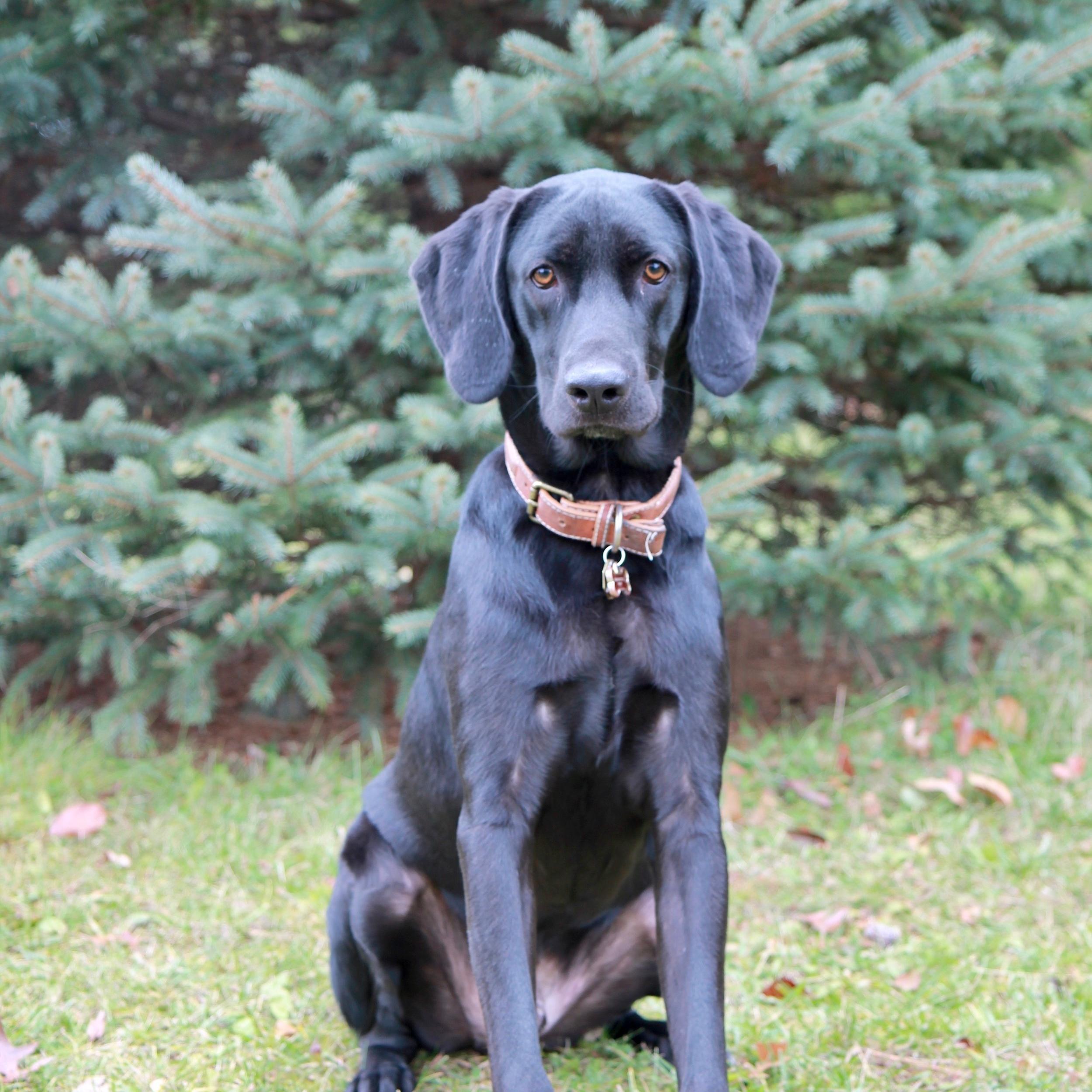 Remington the Labrador Coon Hound Mix