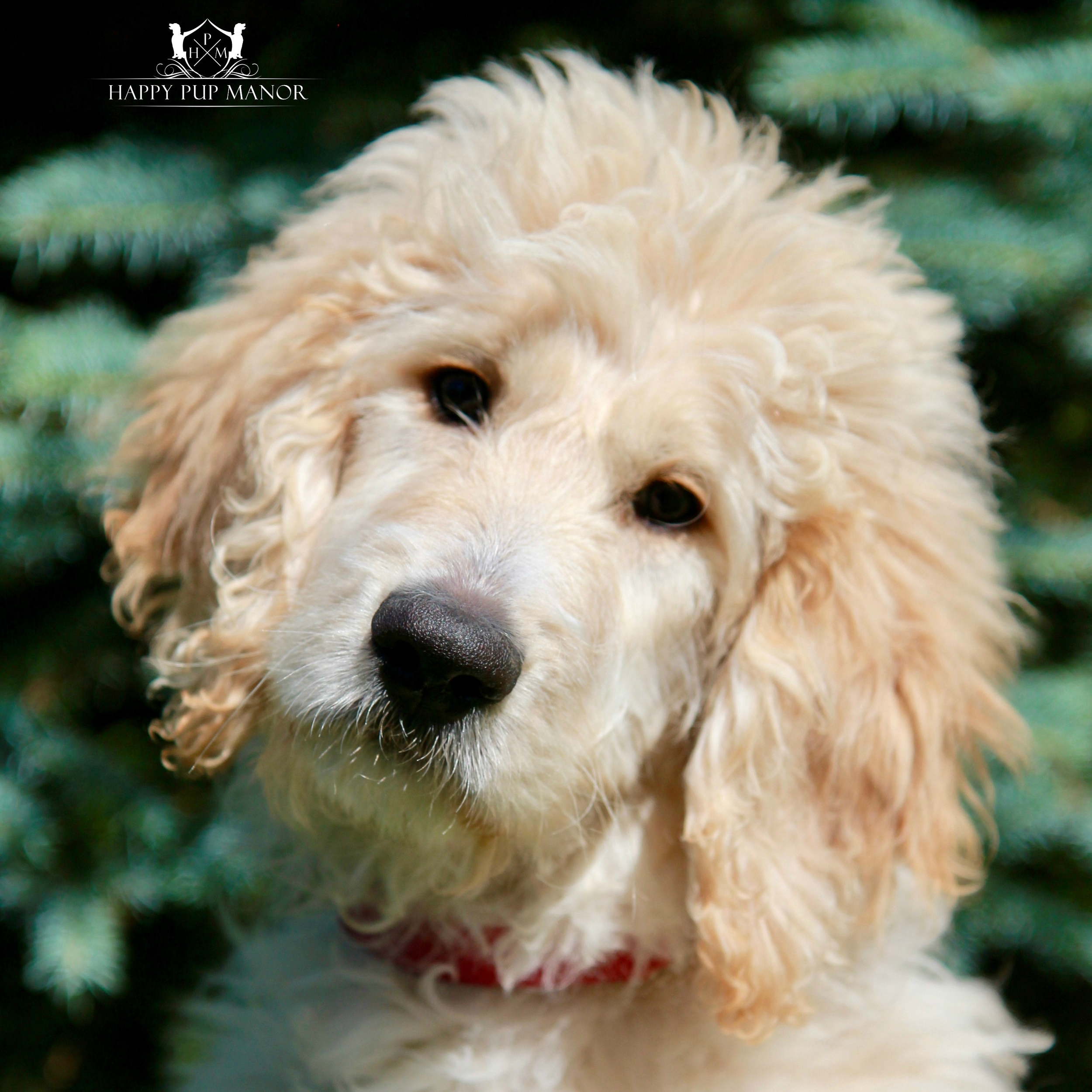 Ivy the Goldendoodle