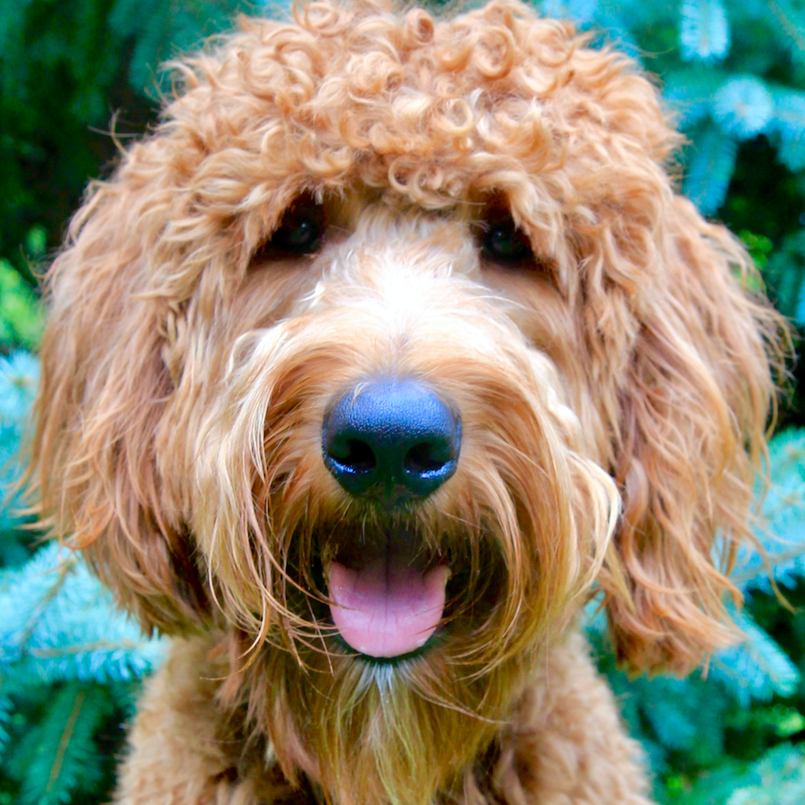 Bosco the Goldendoodle