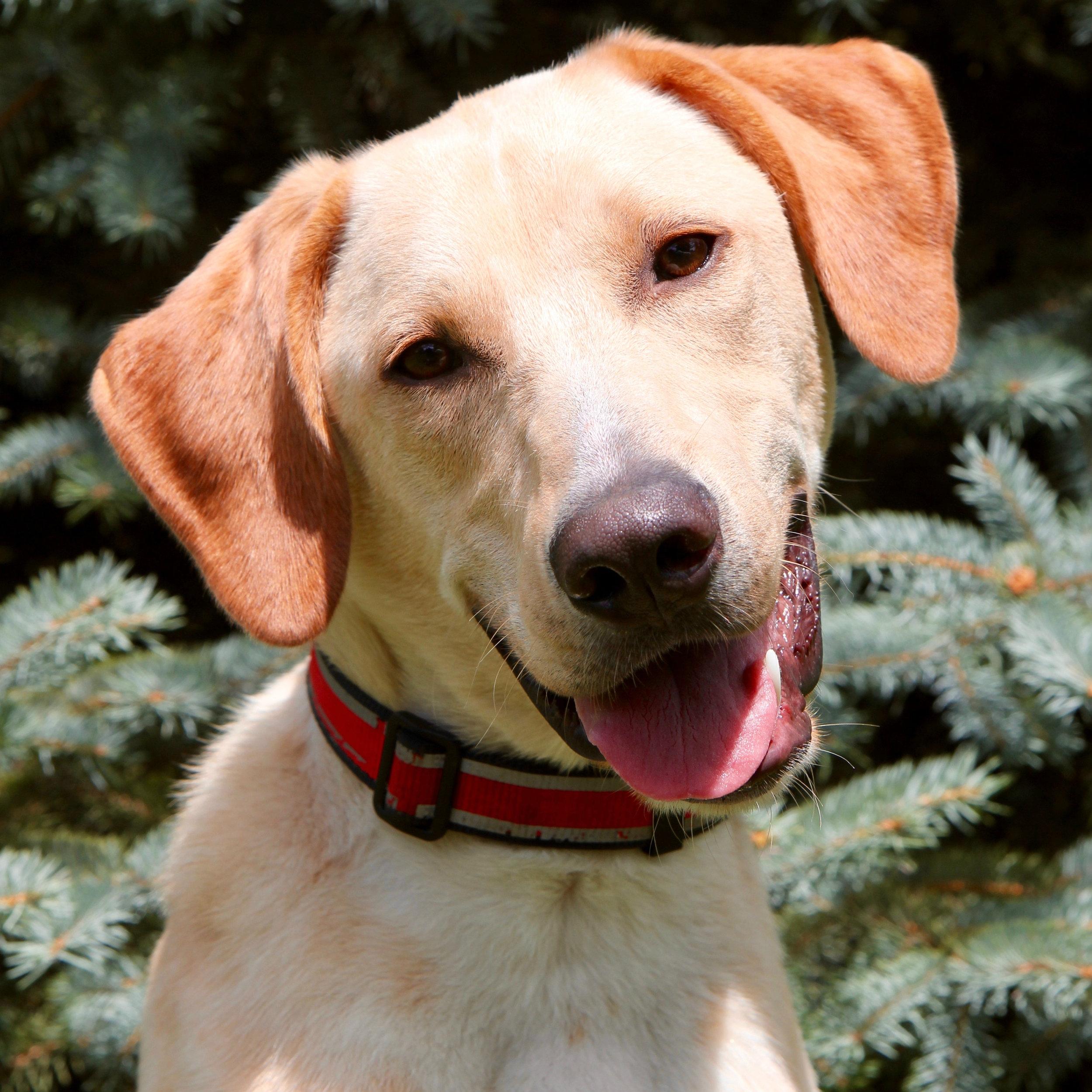 Scout the Labrador Hound Mix