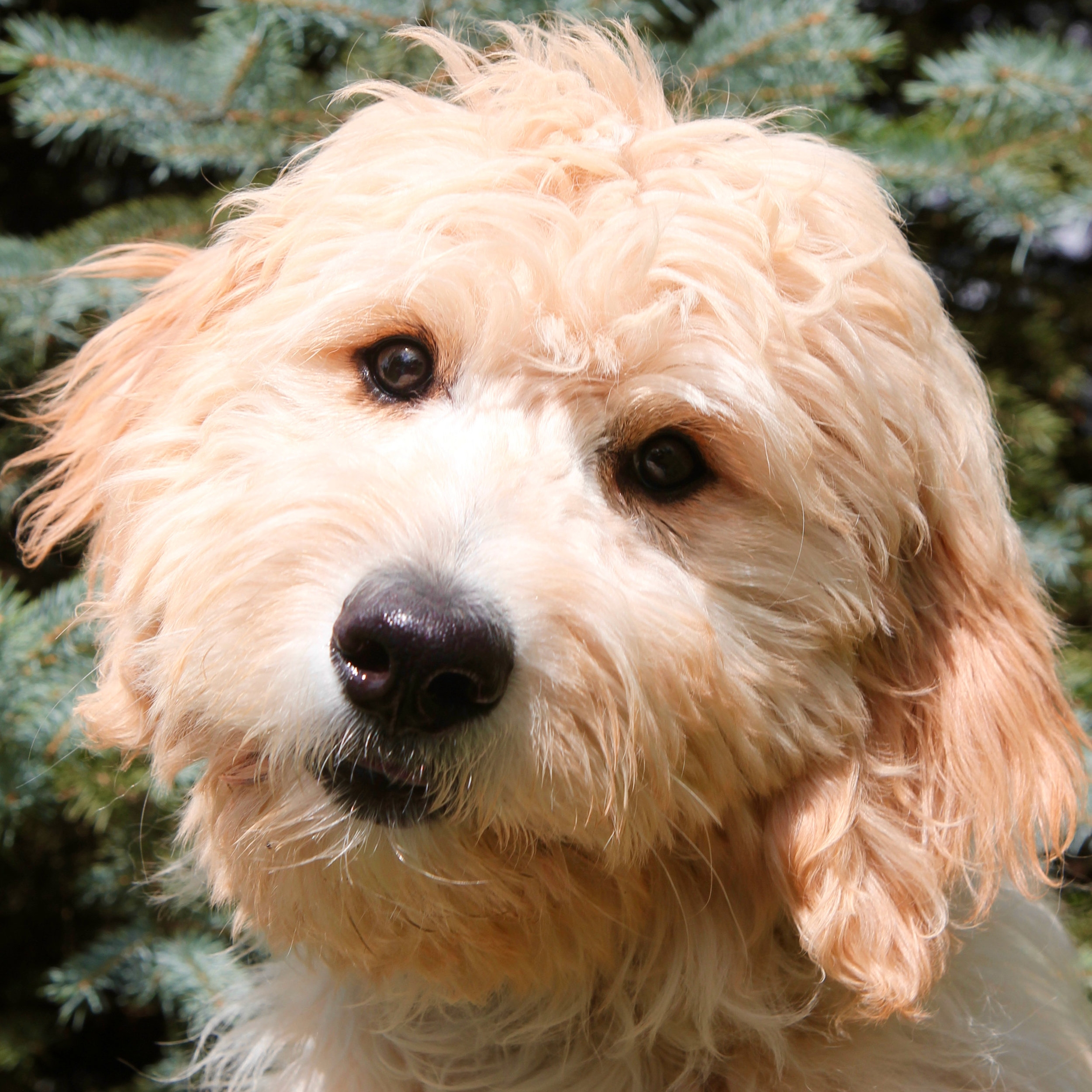 Gigi there Goldendoodle