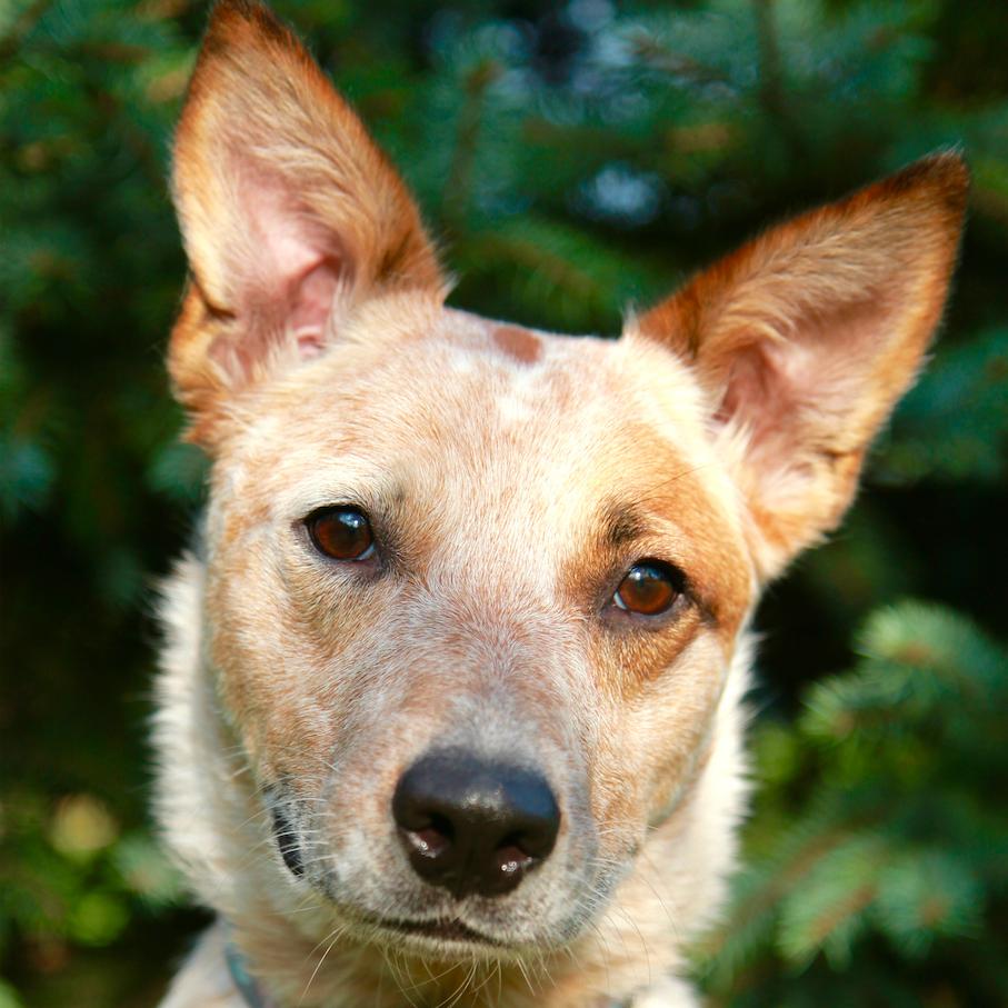 Lola the Australian Cattle Dog