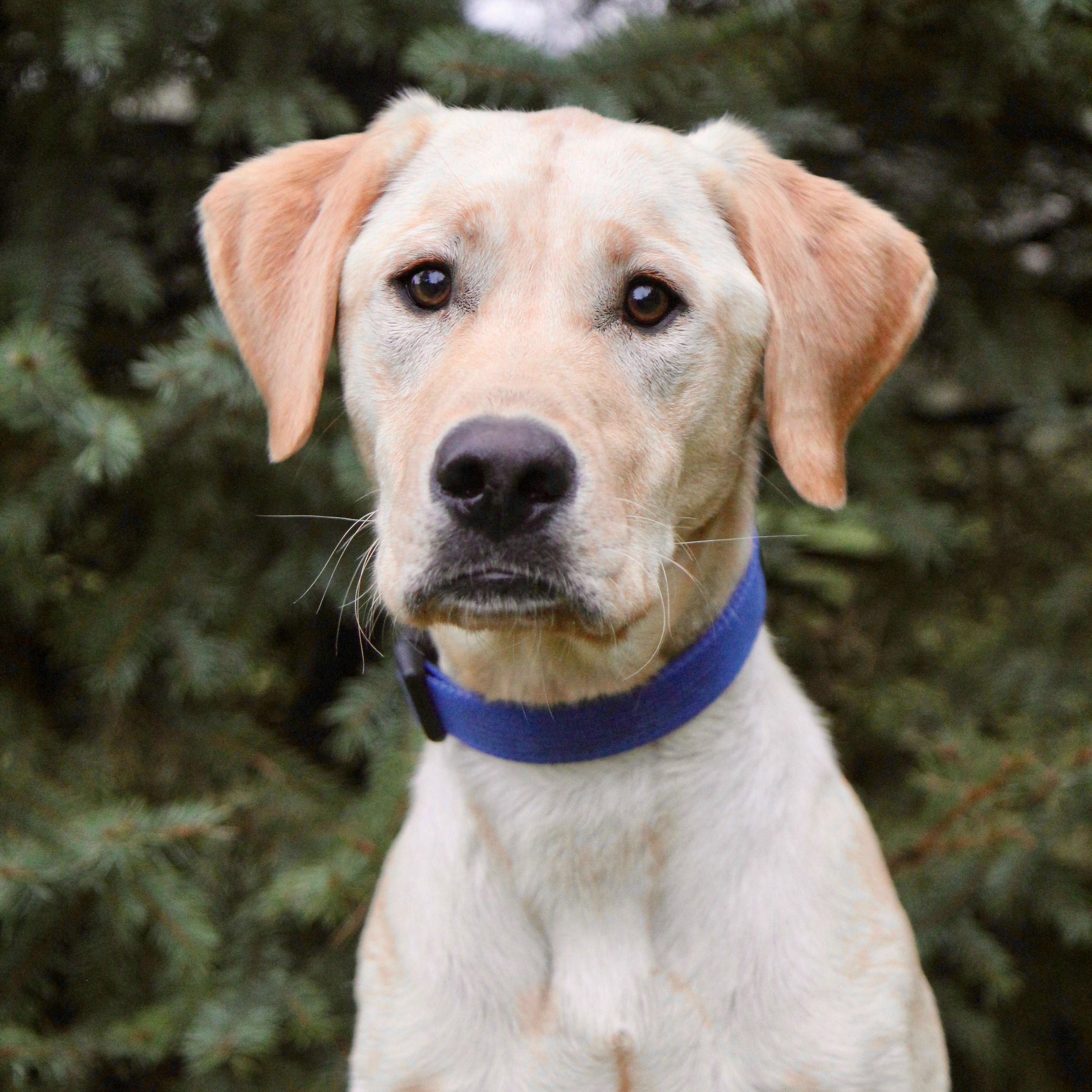 Owen the Labrador Retriever