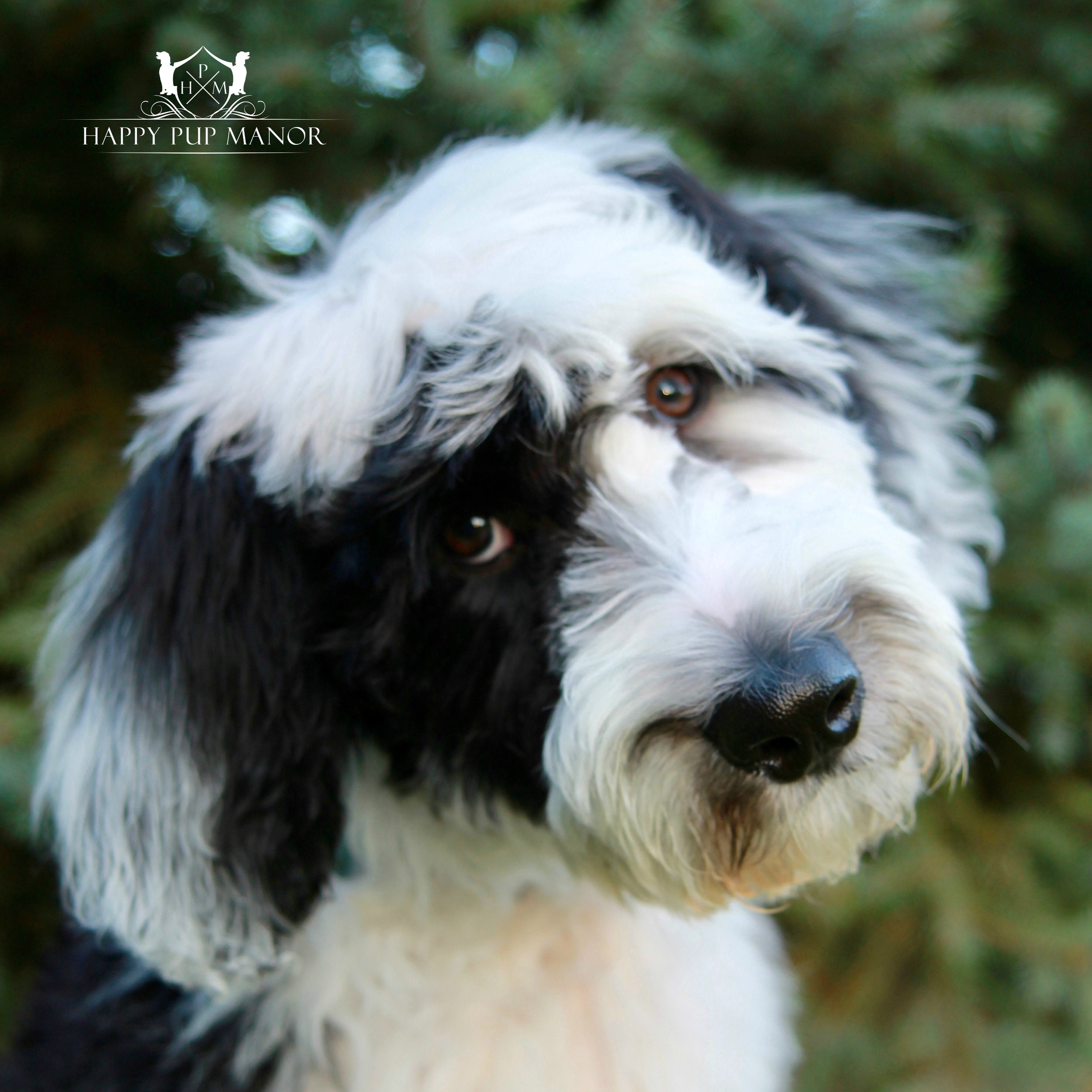 Archie the Sheepadoodle