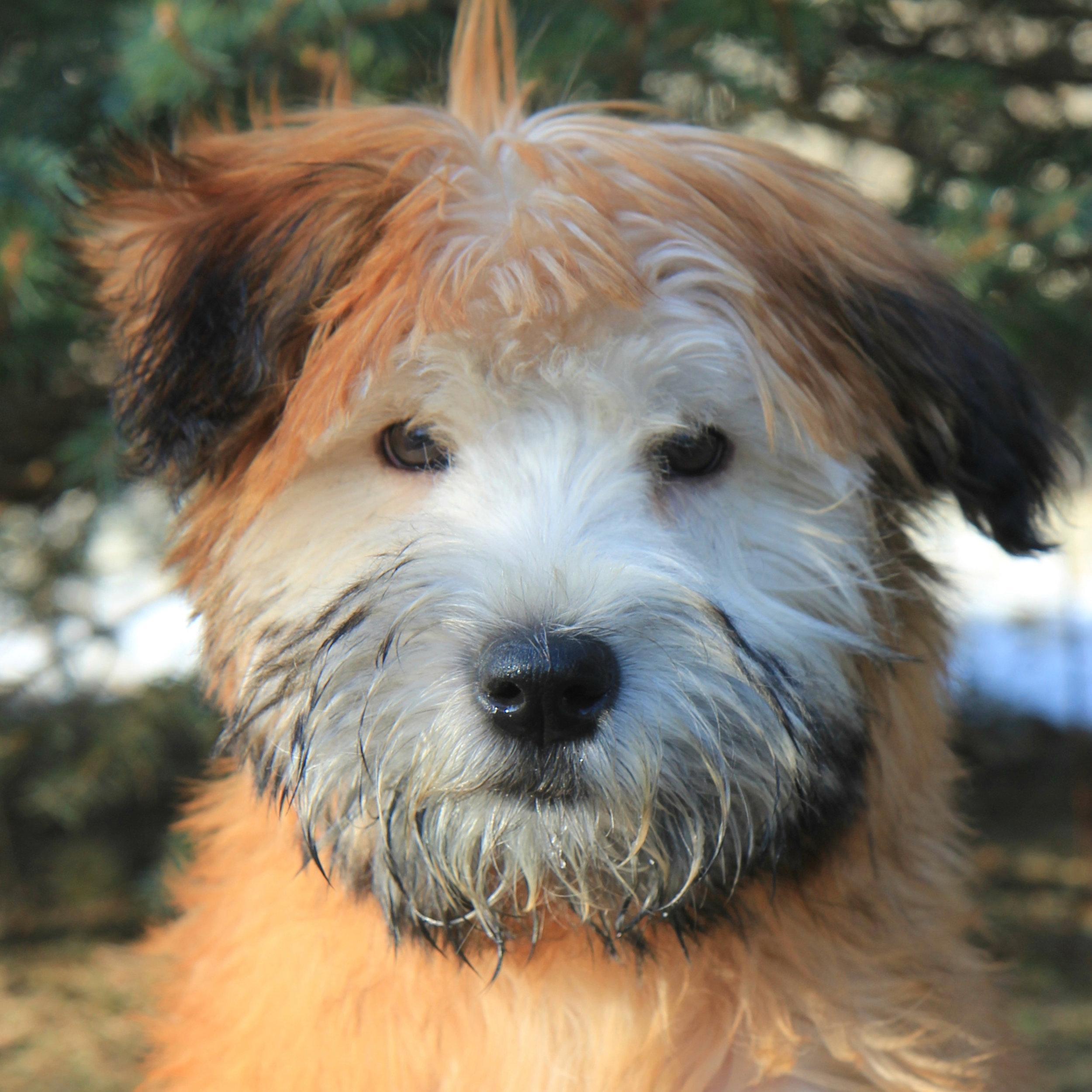 Jenna the Soft Coated Wheaten Terrier