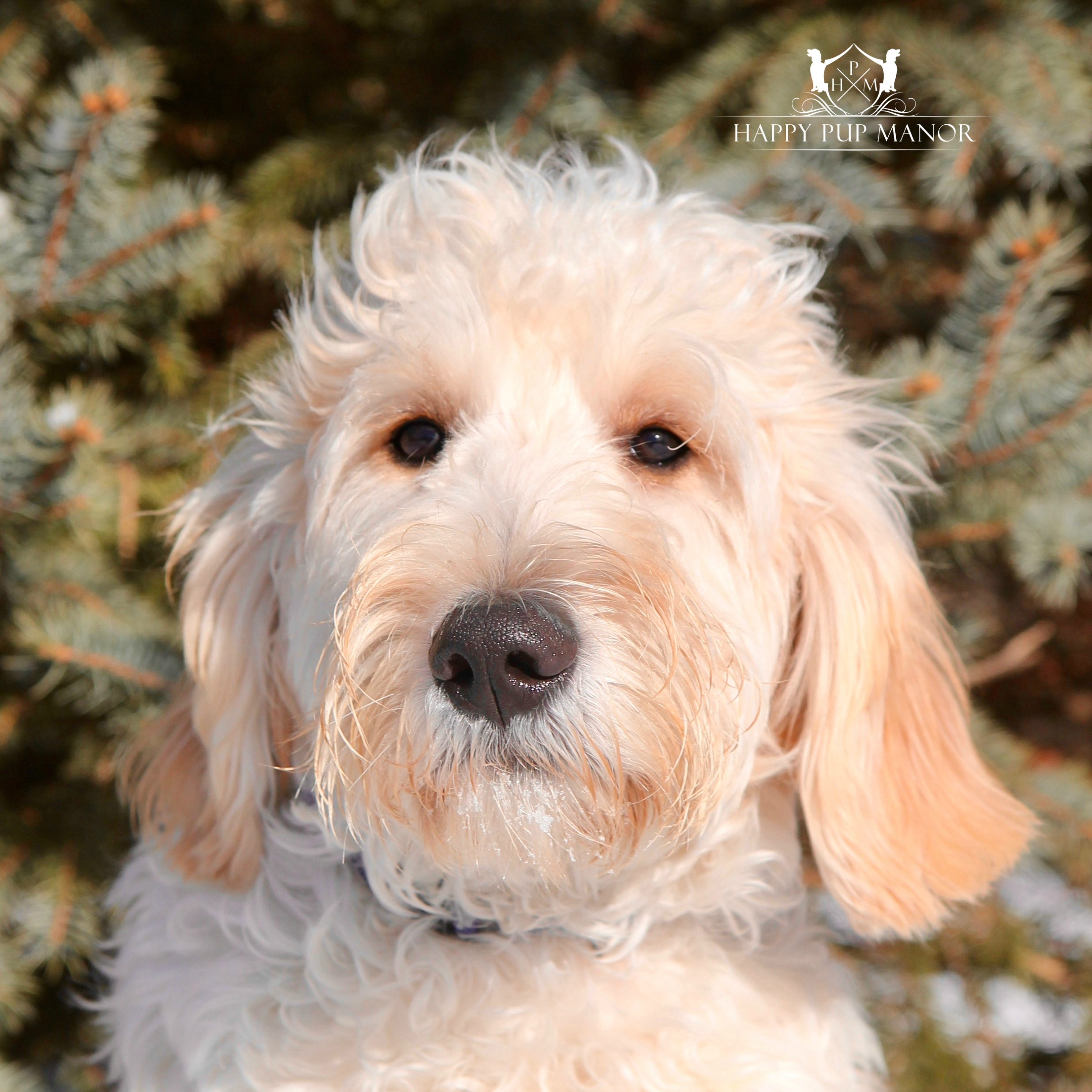 Rizzo the Goldendoodle