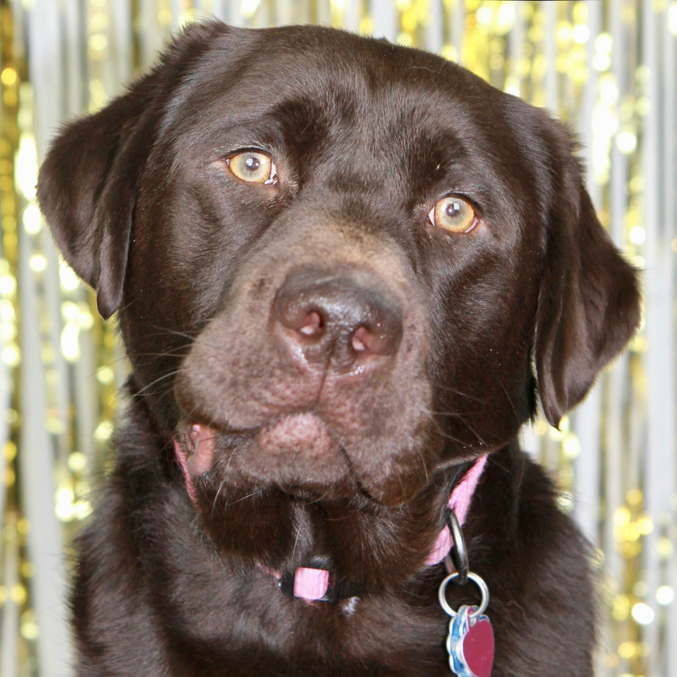 Sadie the Labrador Retriever