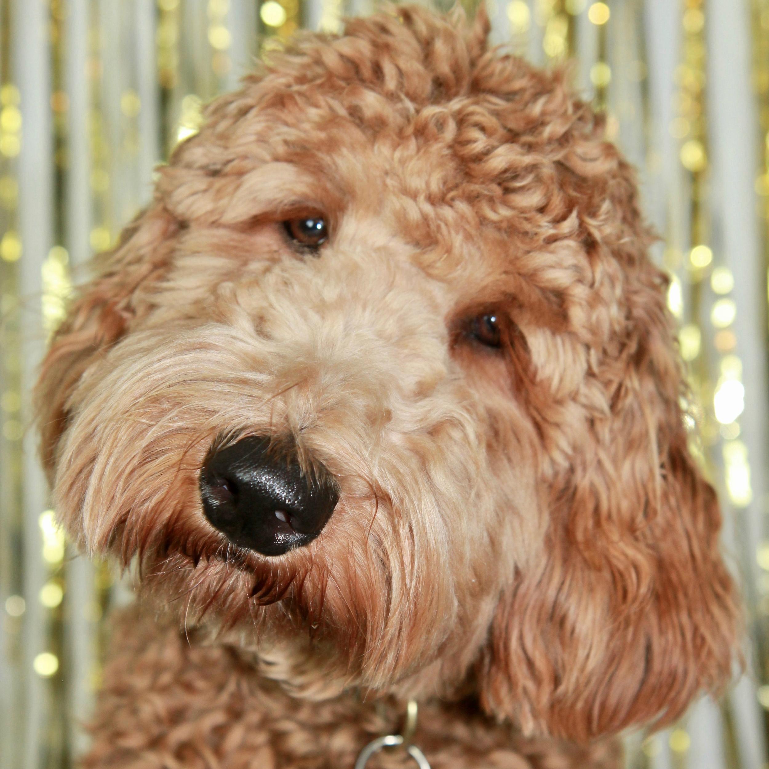 Lulu the Goldendoodle