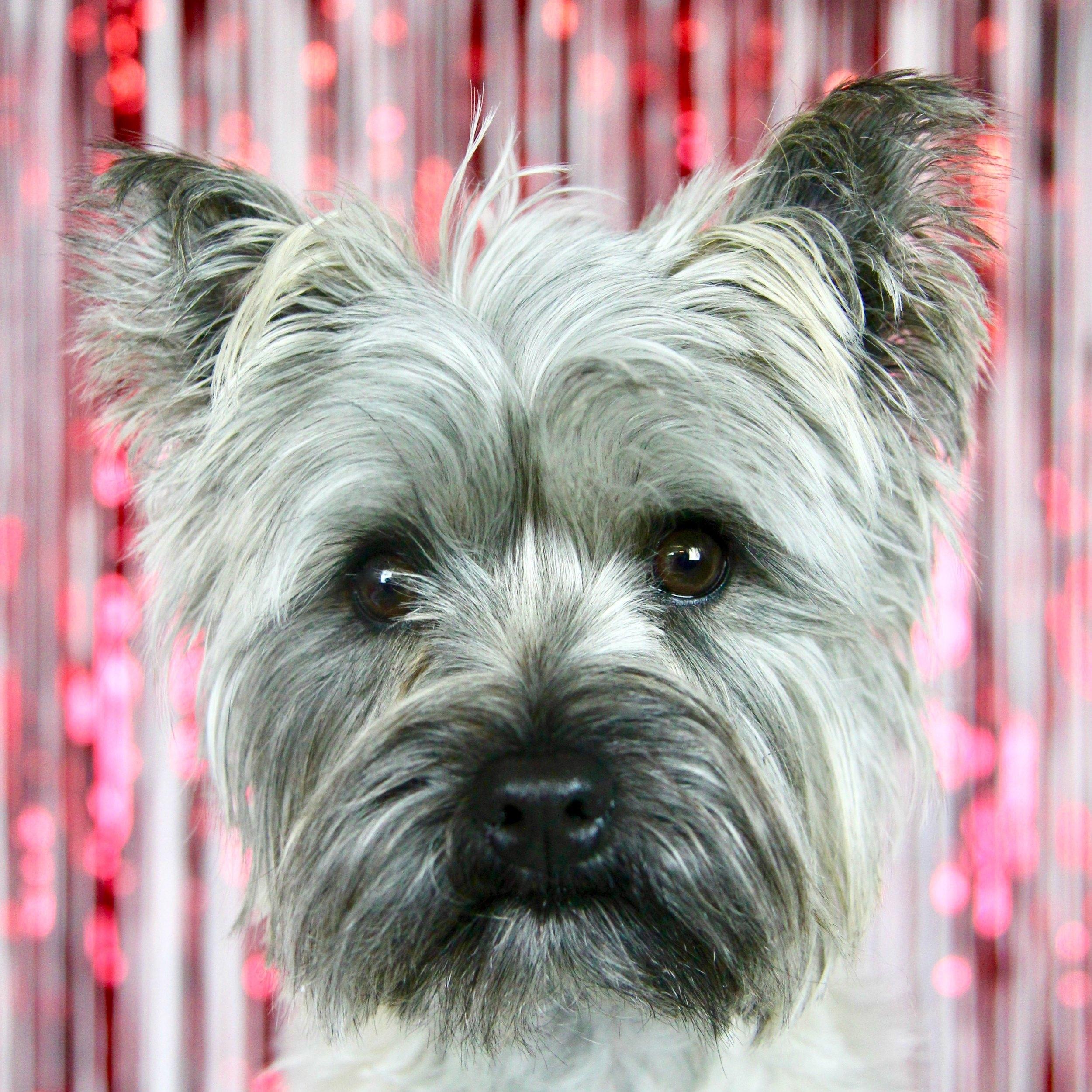 Pepper the Cairn Terrier