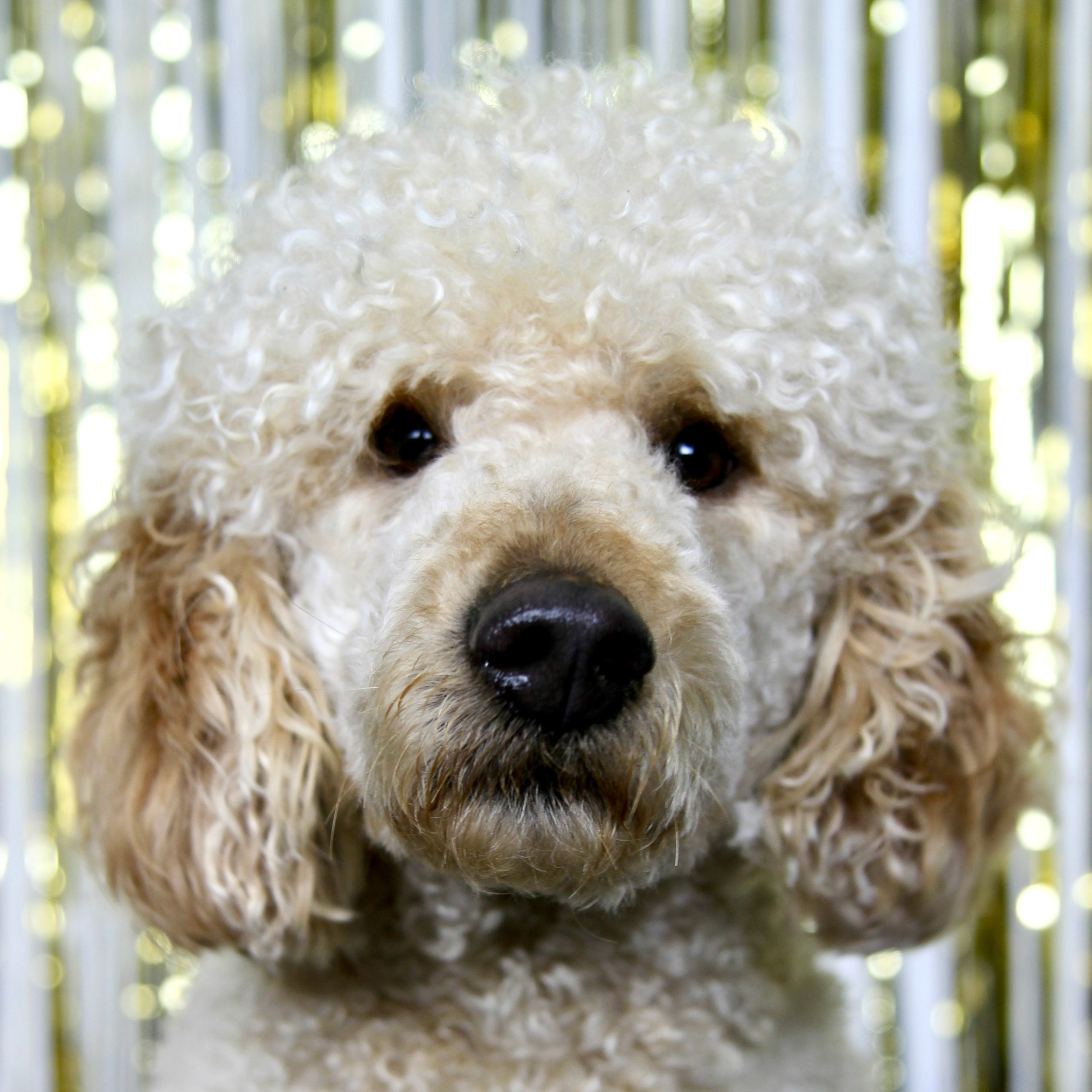Frankie the Standard Poodle