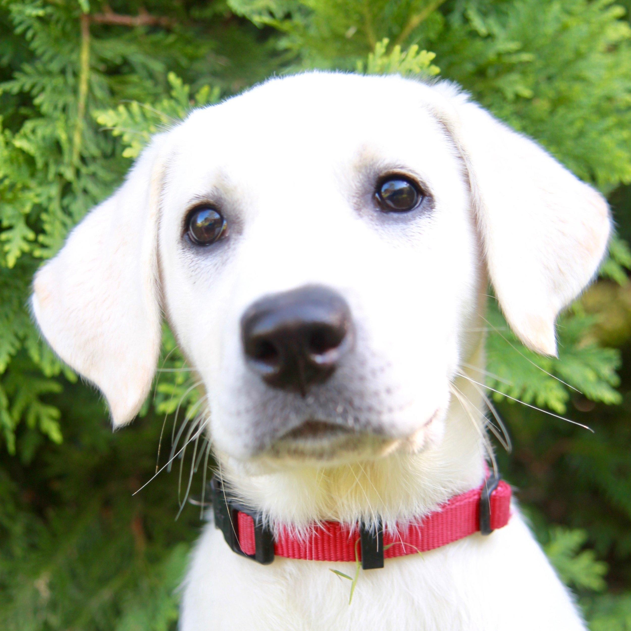 Charlie the Labrador Retriever
