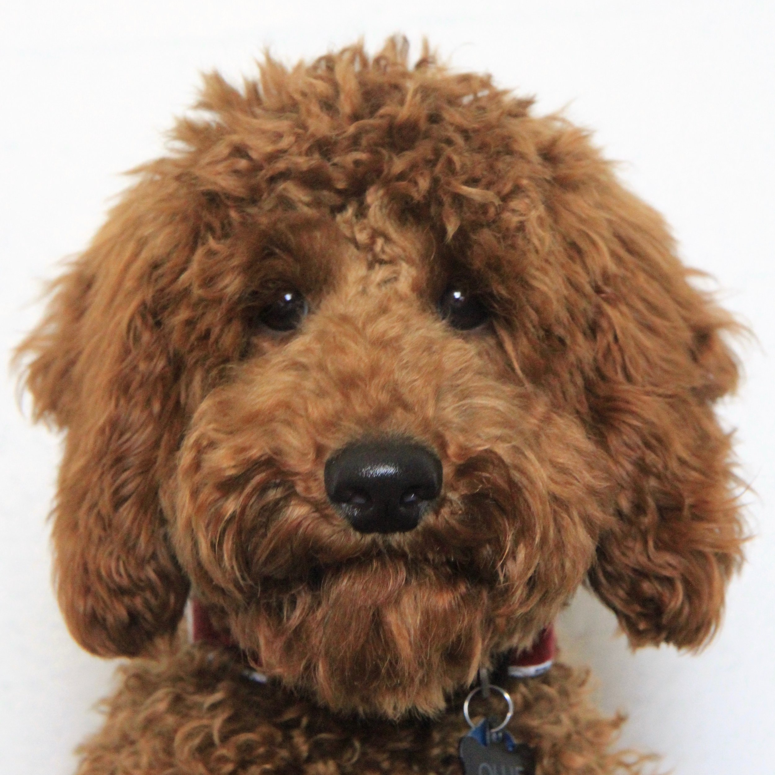Ollie the Miniature Poodle