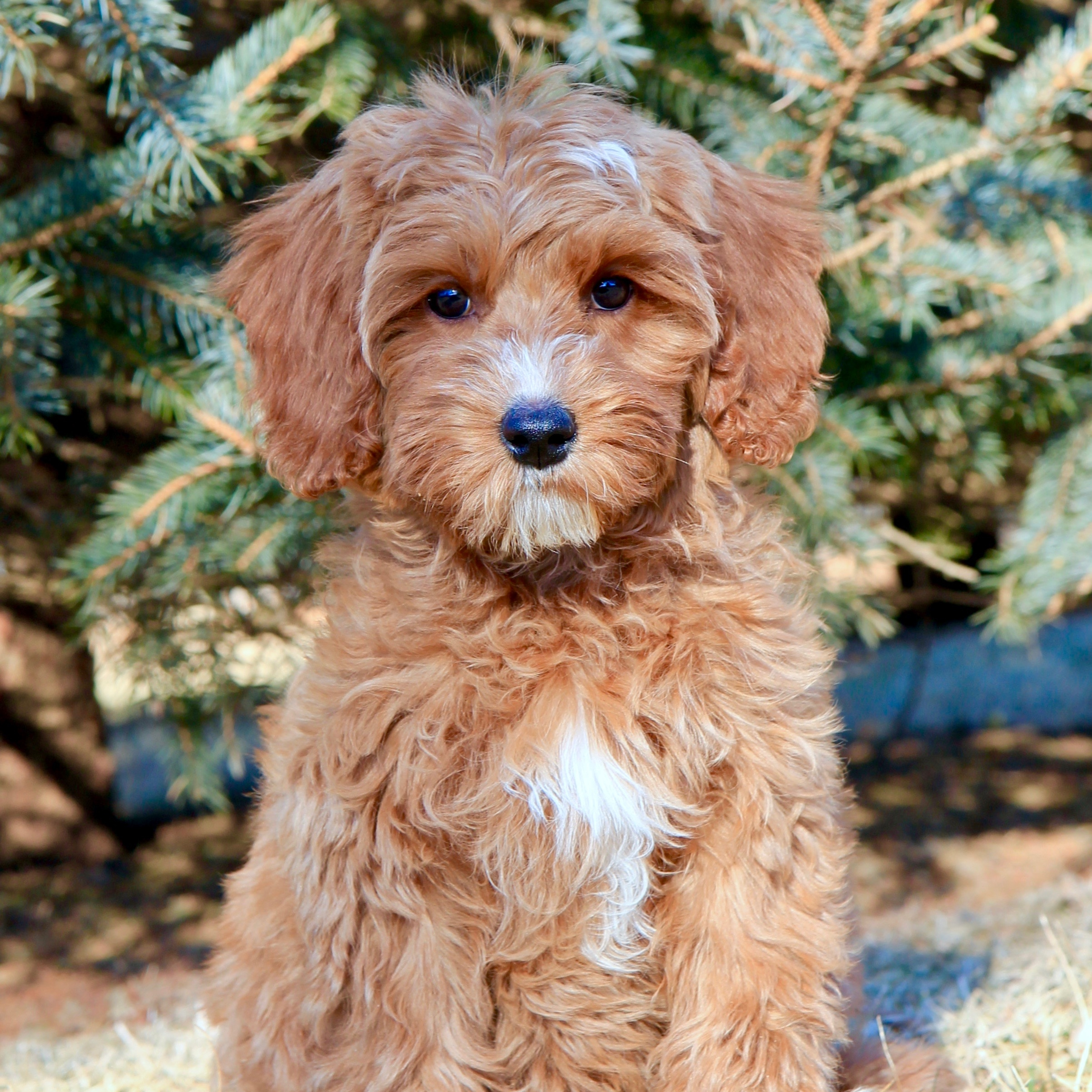 Holly the Australian Labradoodle