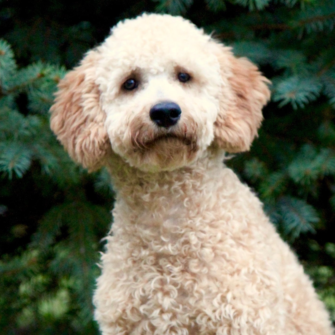 Honey the Goldendoodle