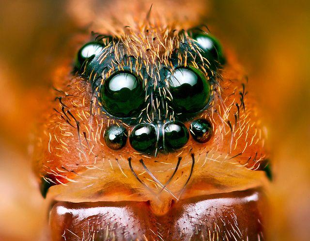 c66a8cd15cdf7085670bce28980fabcc--beautiful-eyes-spiders.jpg